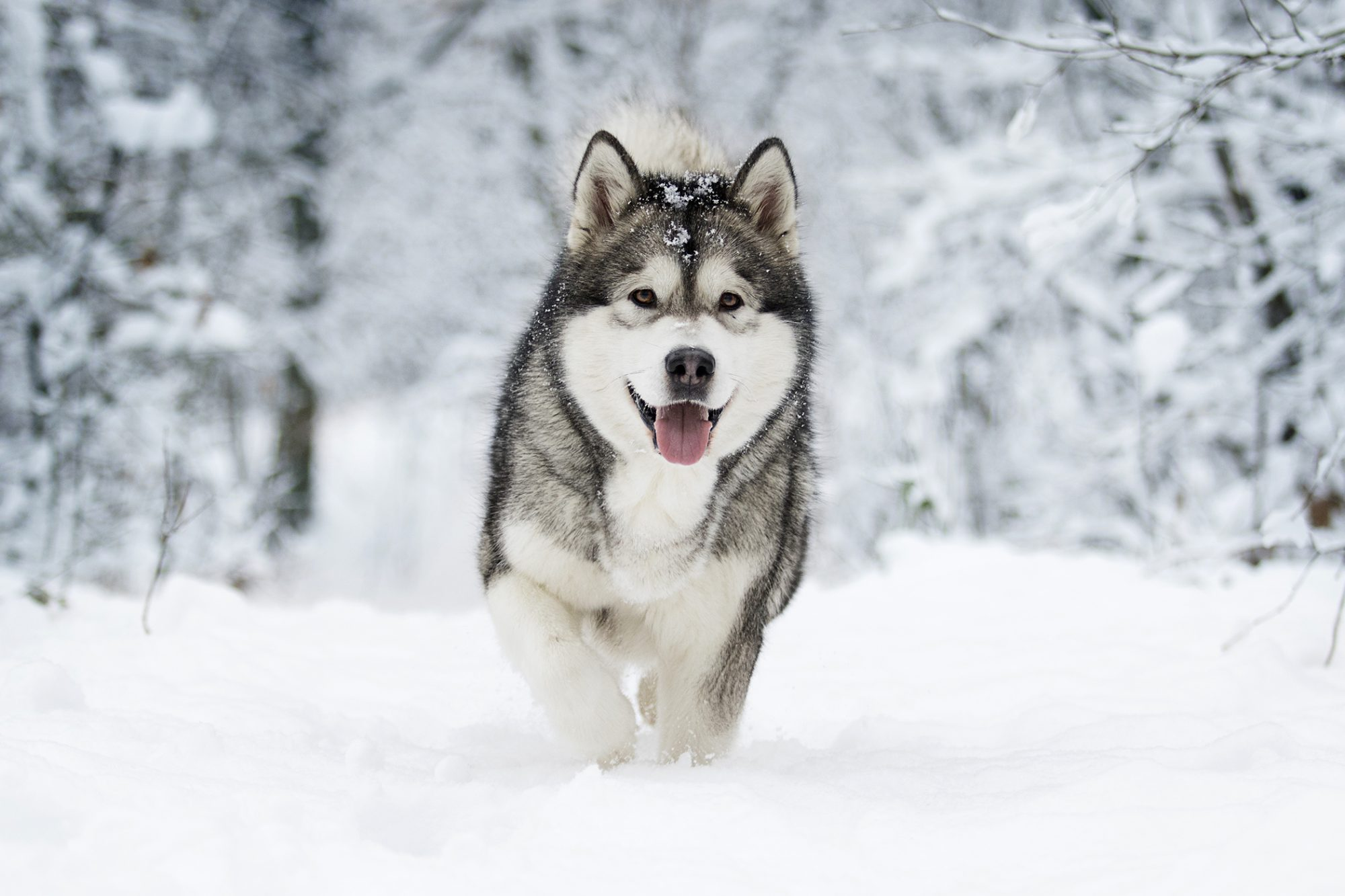 Alaskan malamute walks through snow