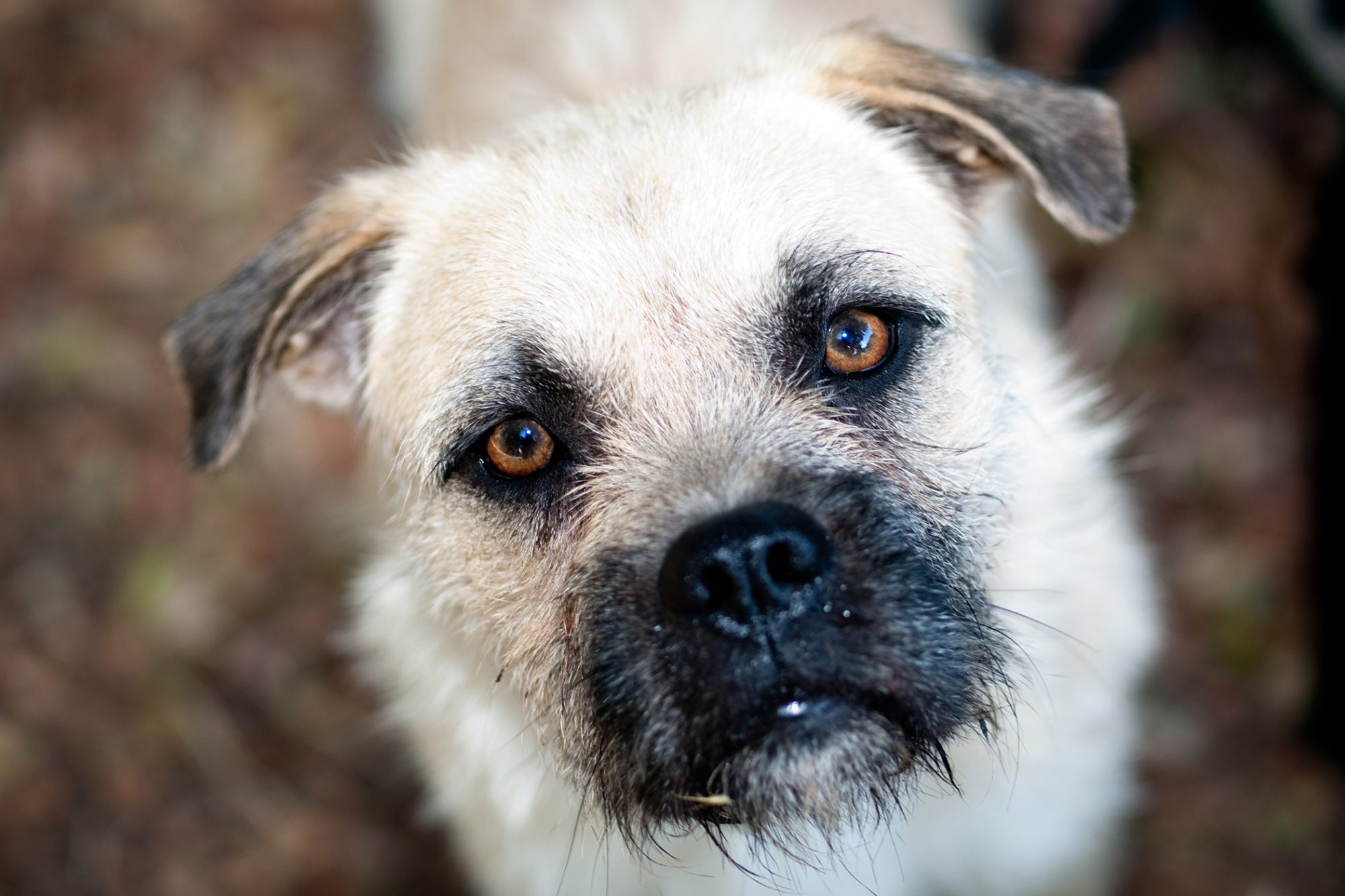 Border terrier dog face close up