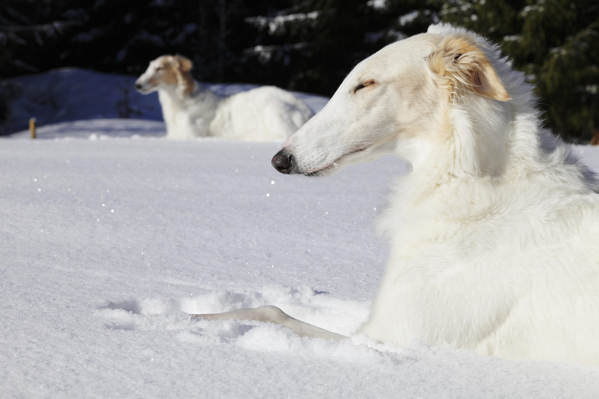 White borzoi dogs lay in snonw