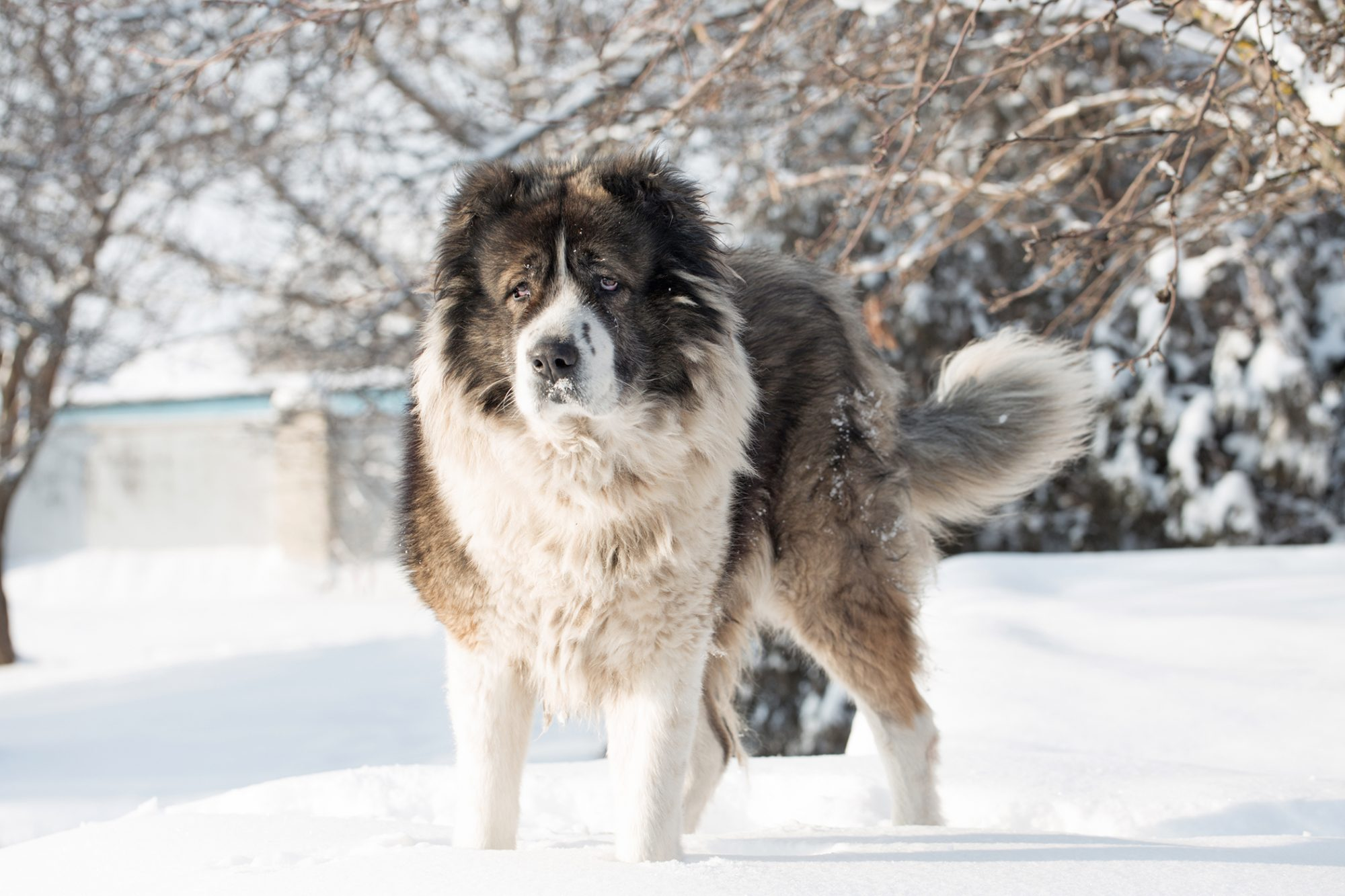 Caucasian shepherd dog outside in the snow