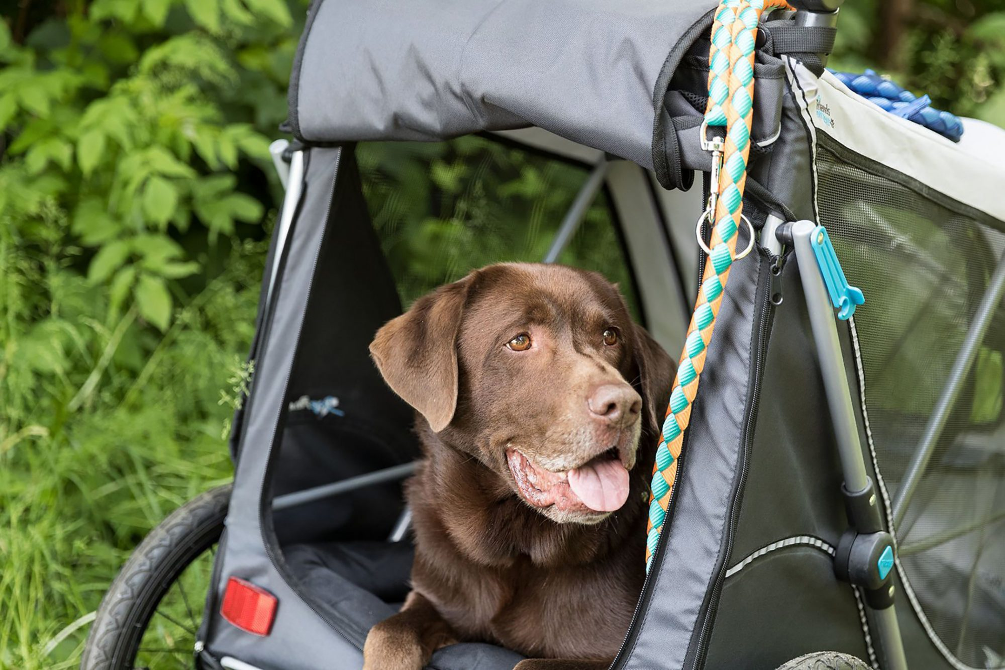 Chocolate lab lays in dog bike trailer