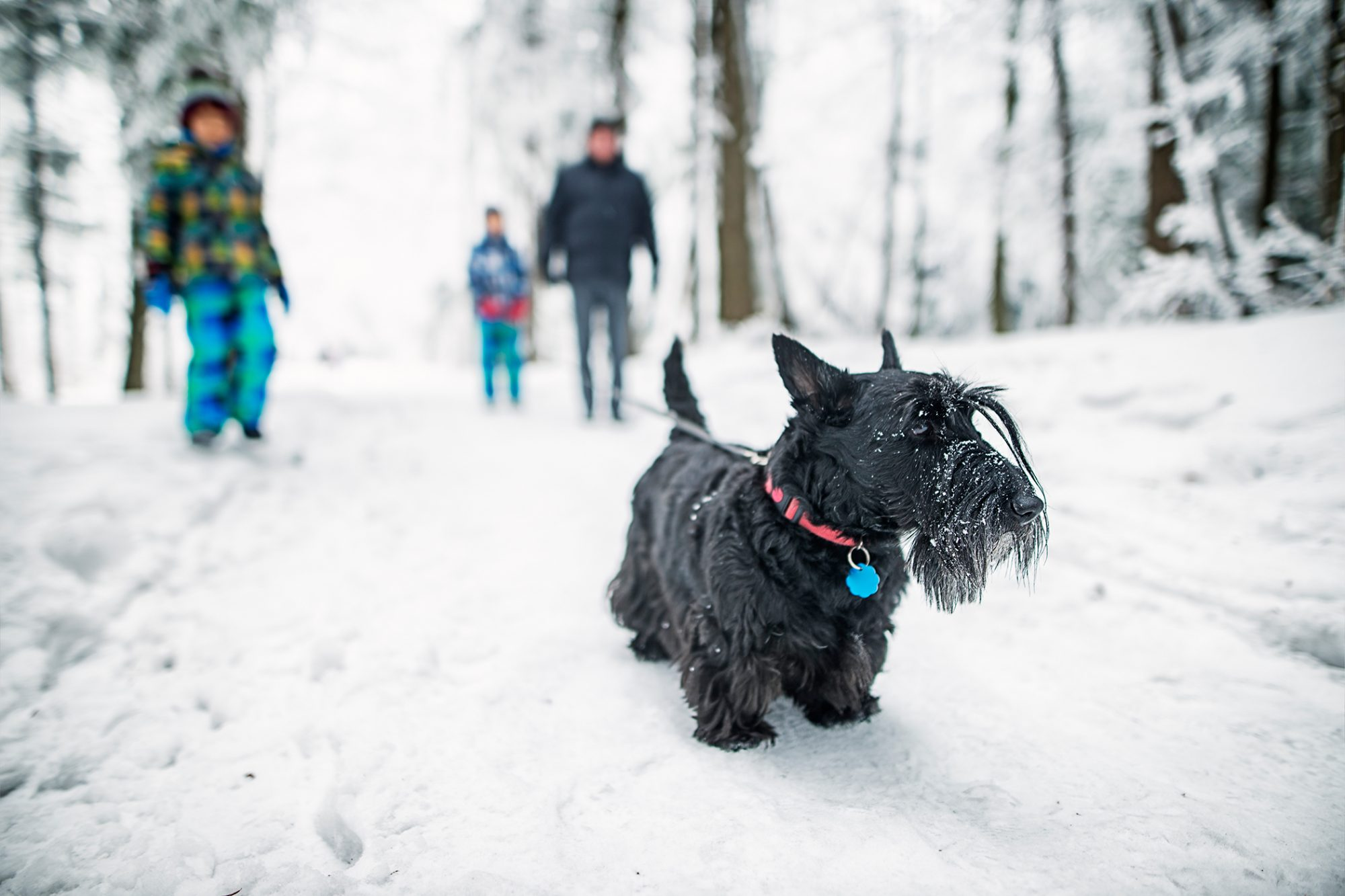 Black Scottish terrier stands on snowy path