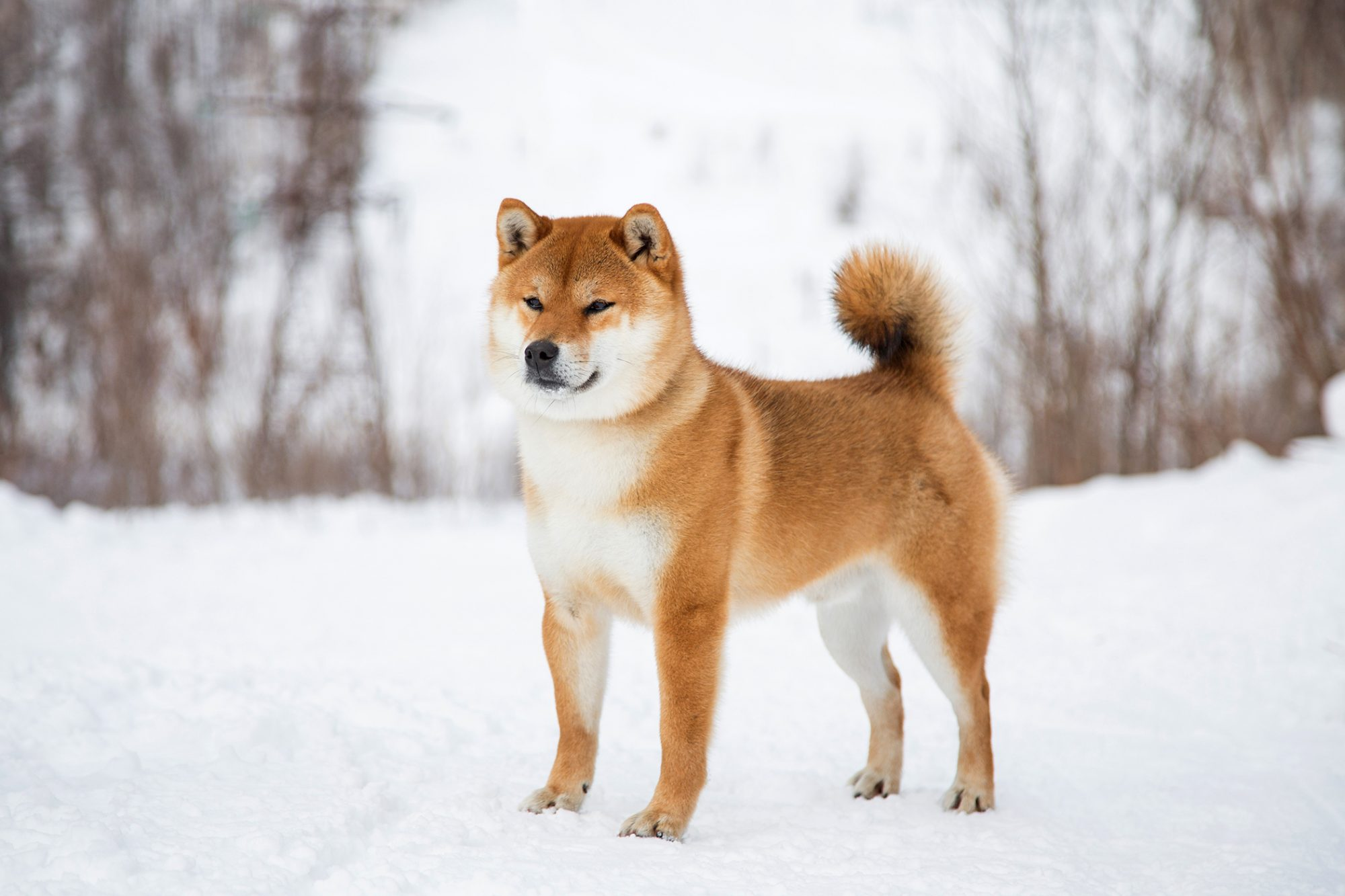 Shiba Inu dog standing in the snow