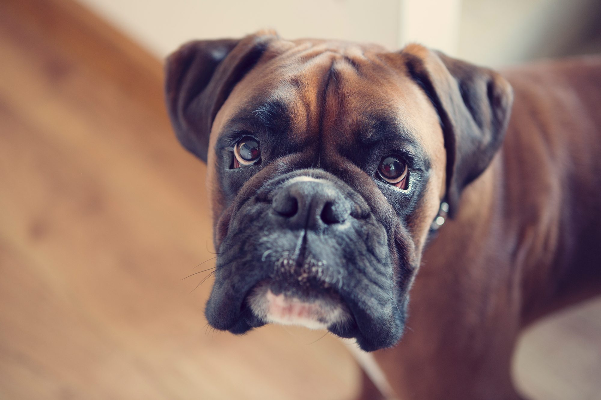 brown boxer looking up at camera