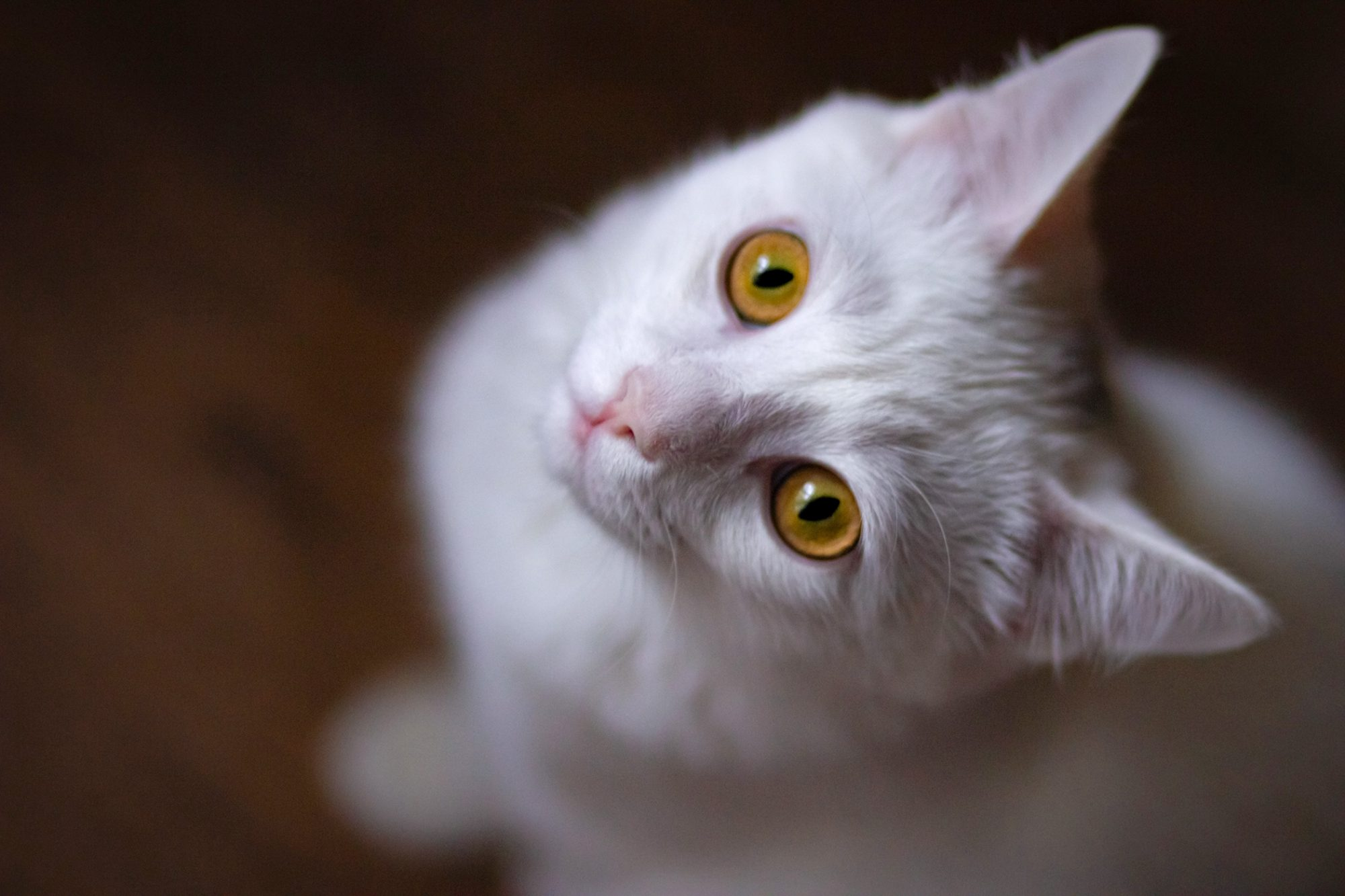 White cat with yellow eyes sits in dark room and stares up at camera