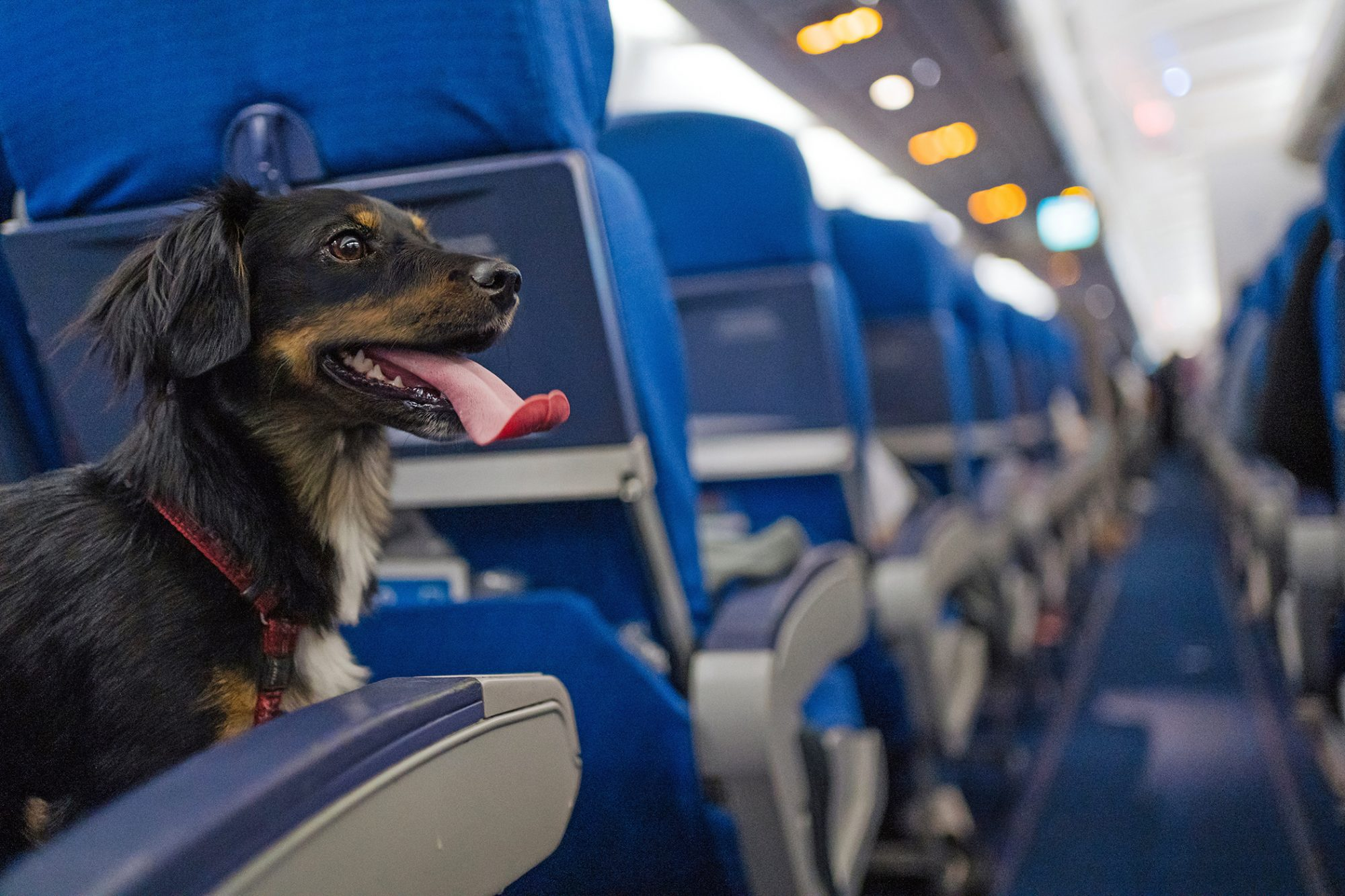 Dog sits in aisle seat on airplane, panting