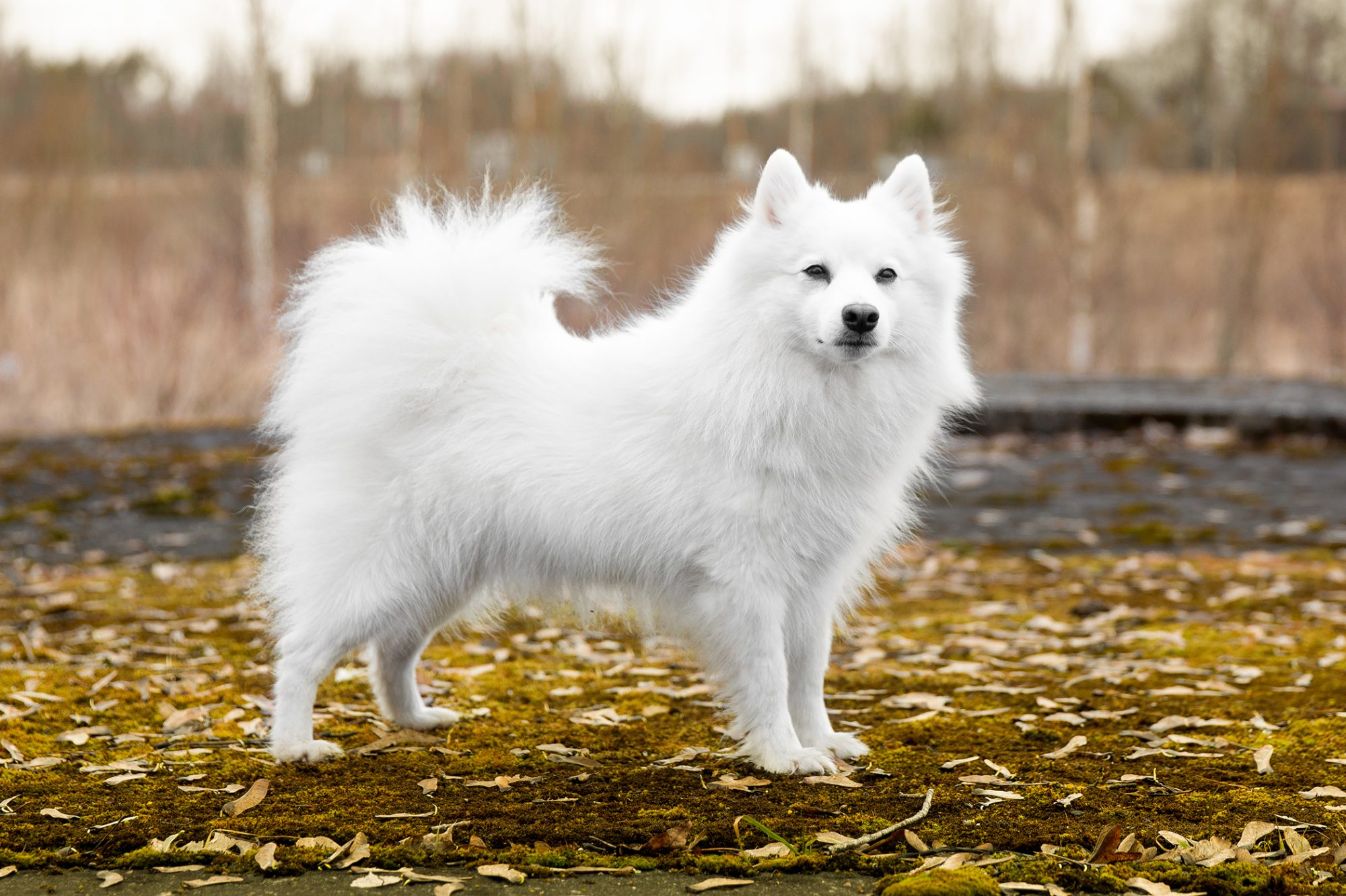 All white Japanese Spitz dog stands on leafy ground
