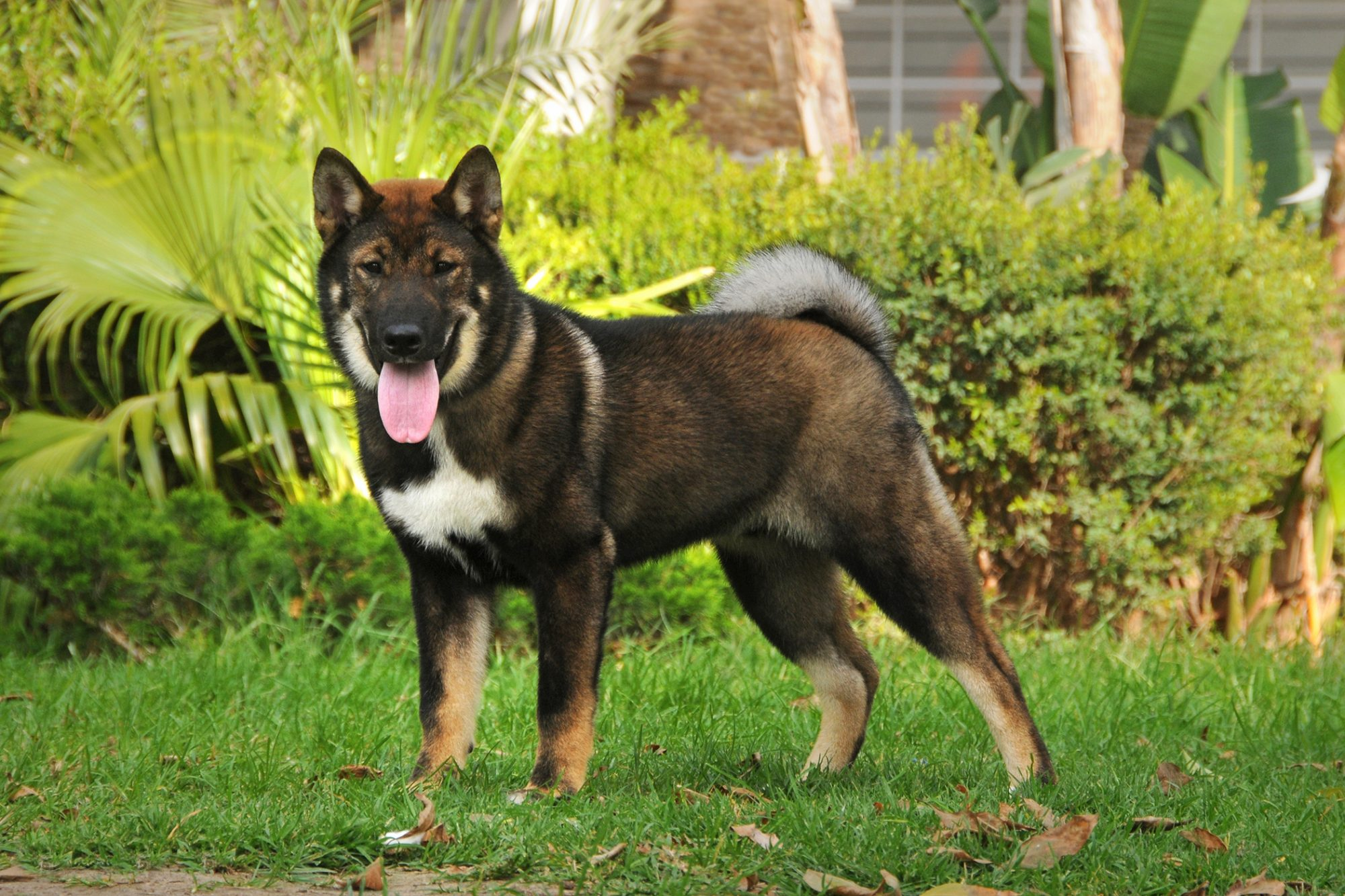 Brown and white Shikoku ken dog stands near landscaping outside
