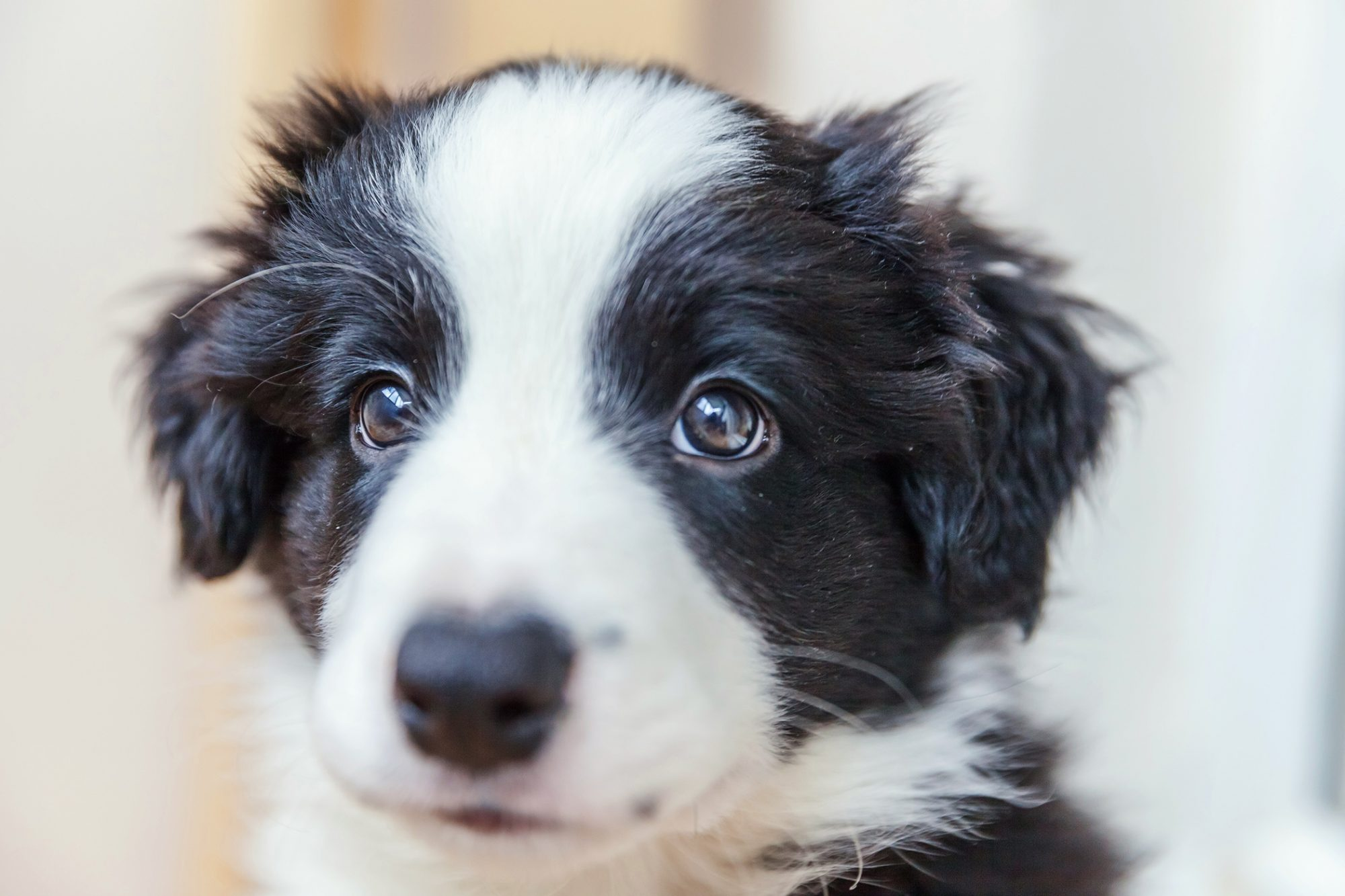 Border collie puppy portrait