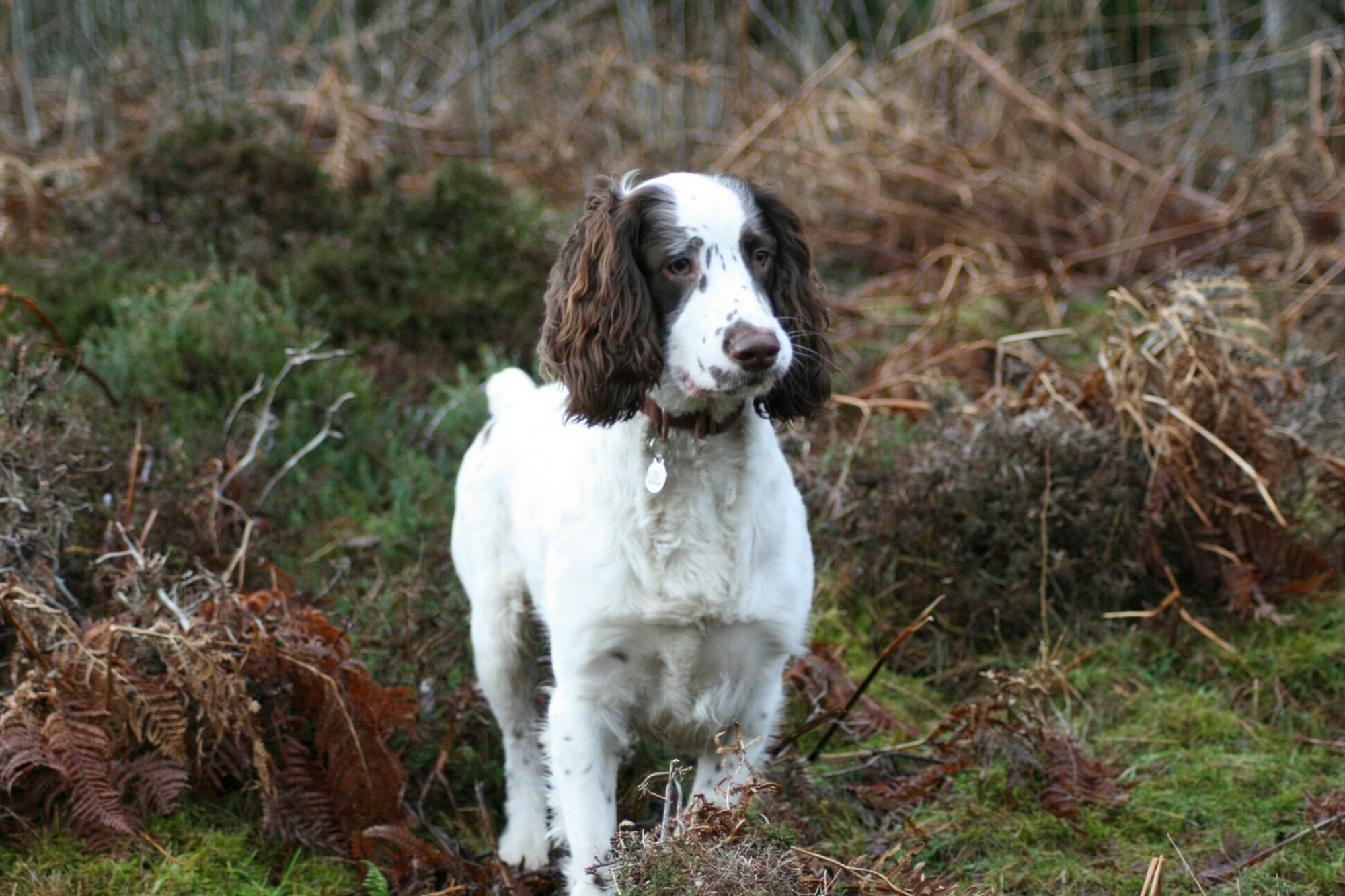 English Springer Spaniel standing in field