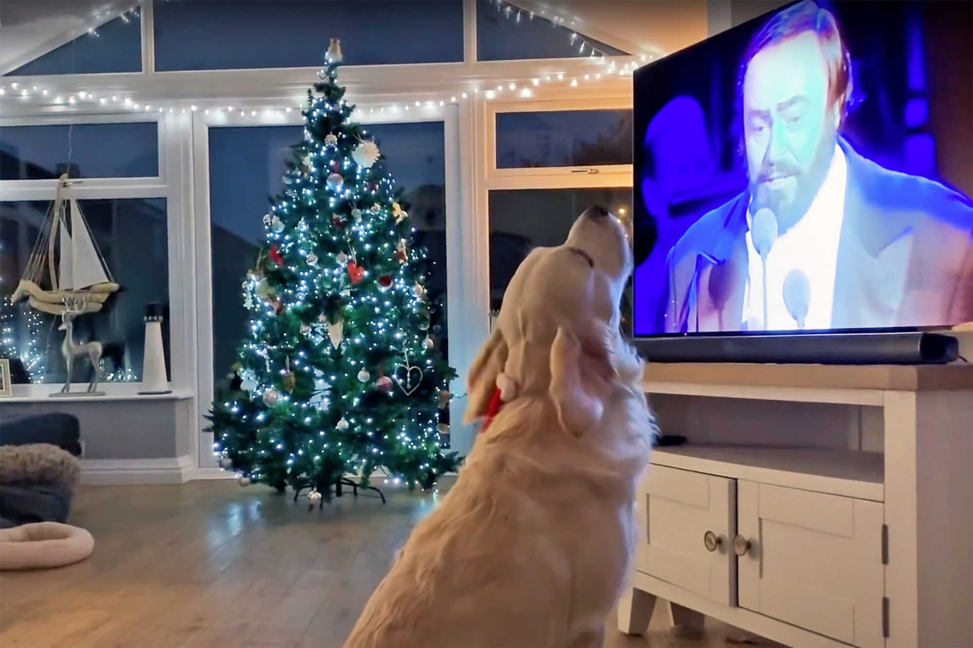 Yellow lab retriever stares up at TV with Christmas tree in background