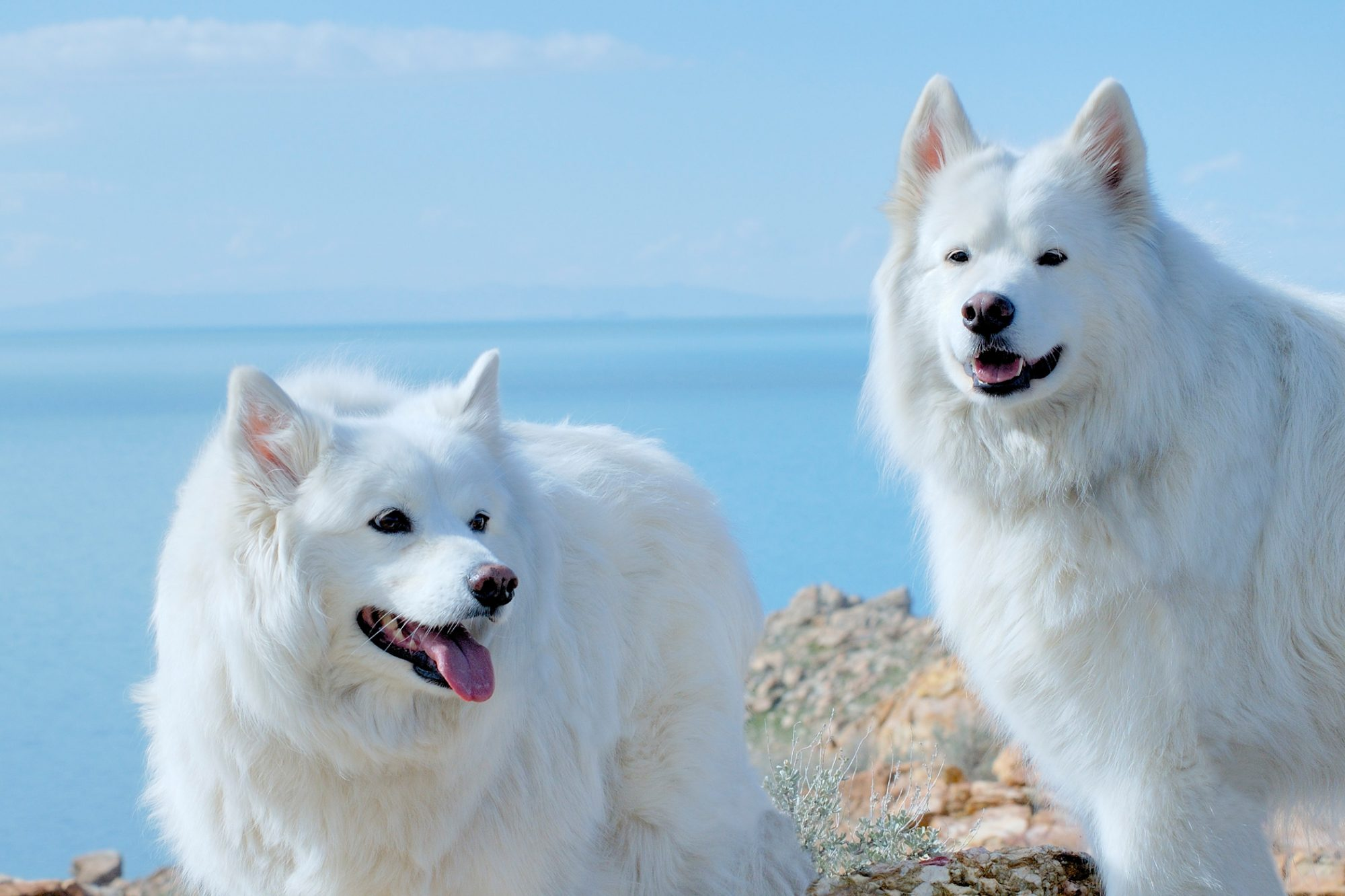 Pair of Alaskan Malamute dogs stand smiling on ocean cliff