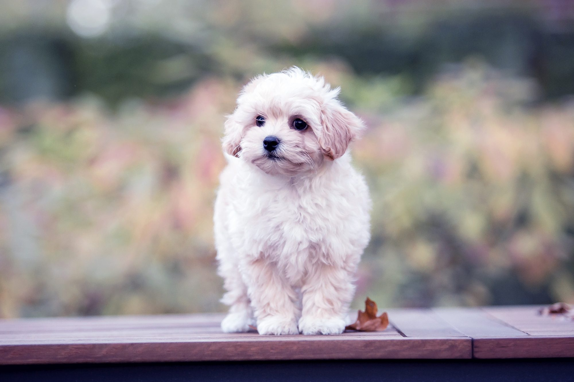 White Maltipoo puppy portrait in autumn