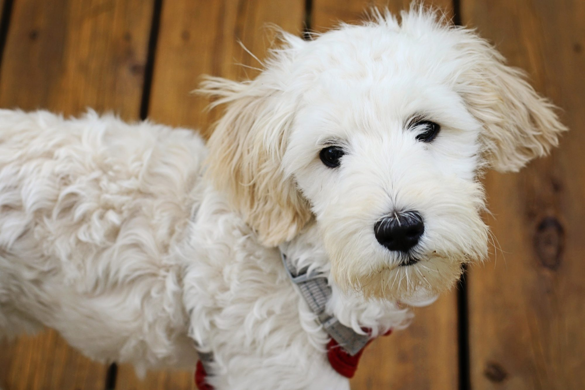 White Sheepadoodle portrait from above with wood floor background
