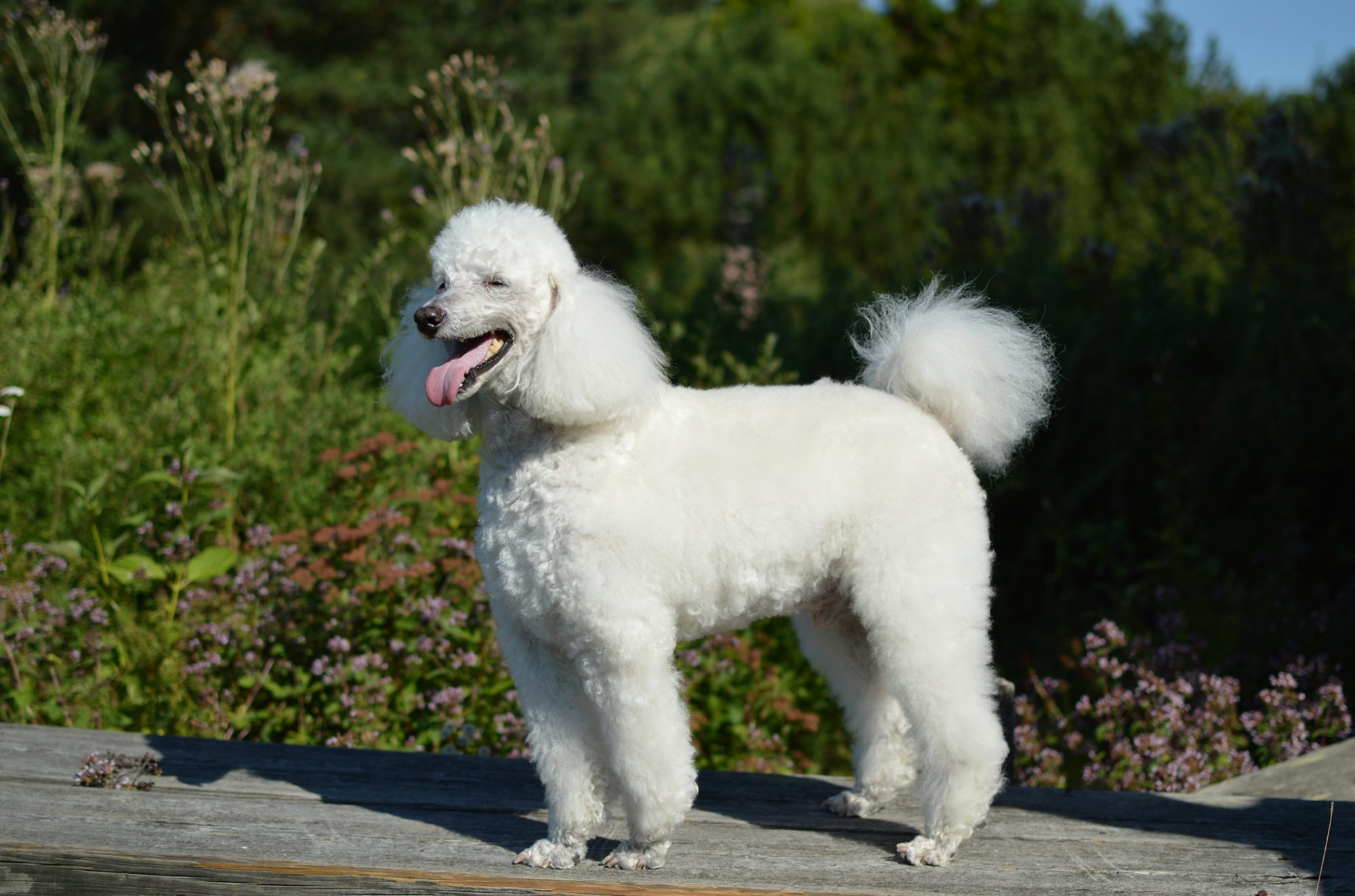 Senior standard poodle with white fur is standing on a wooden bench