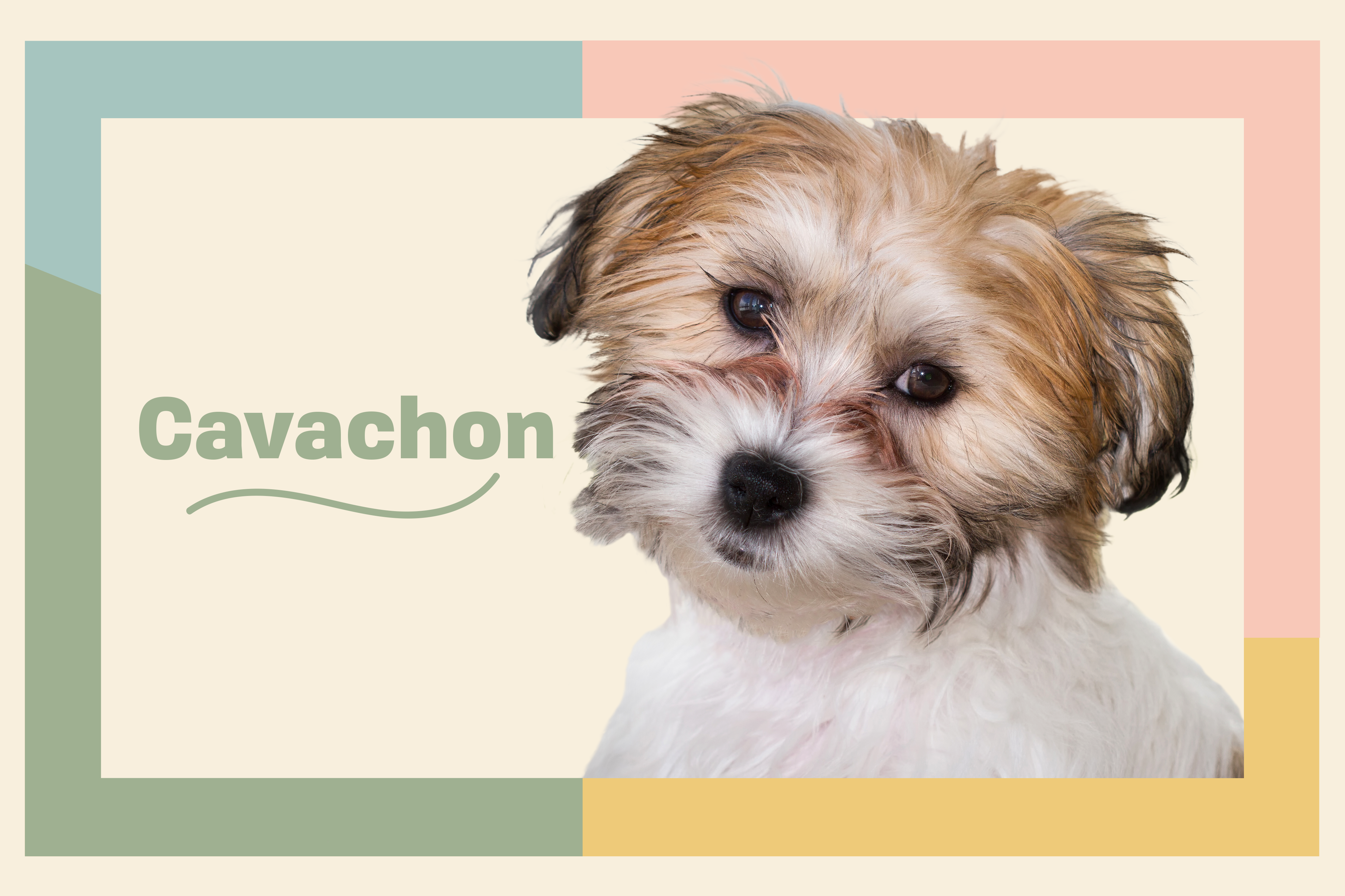 image of the Cavachon