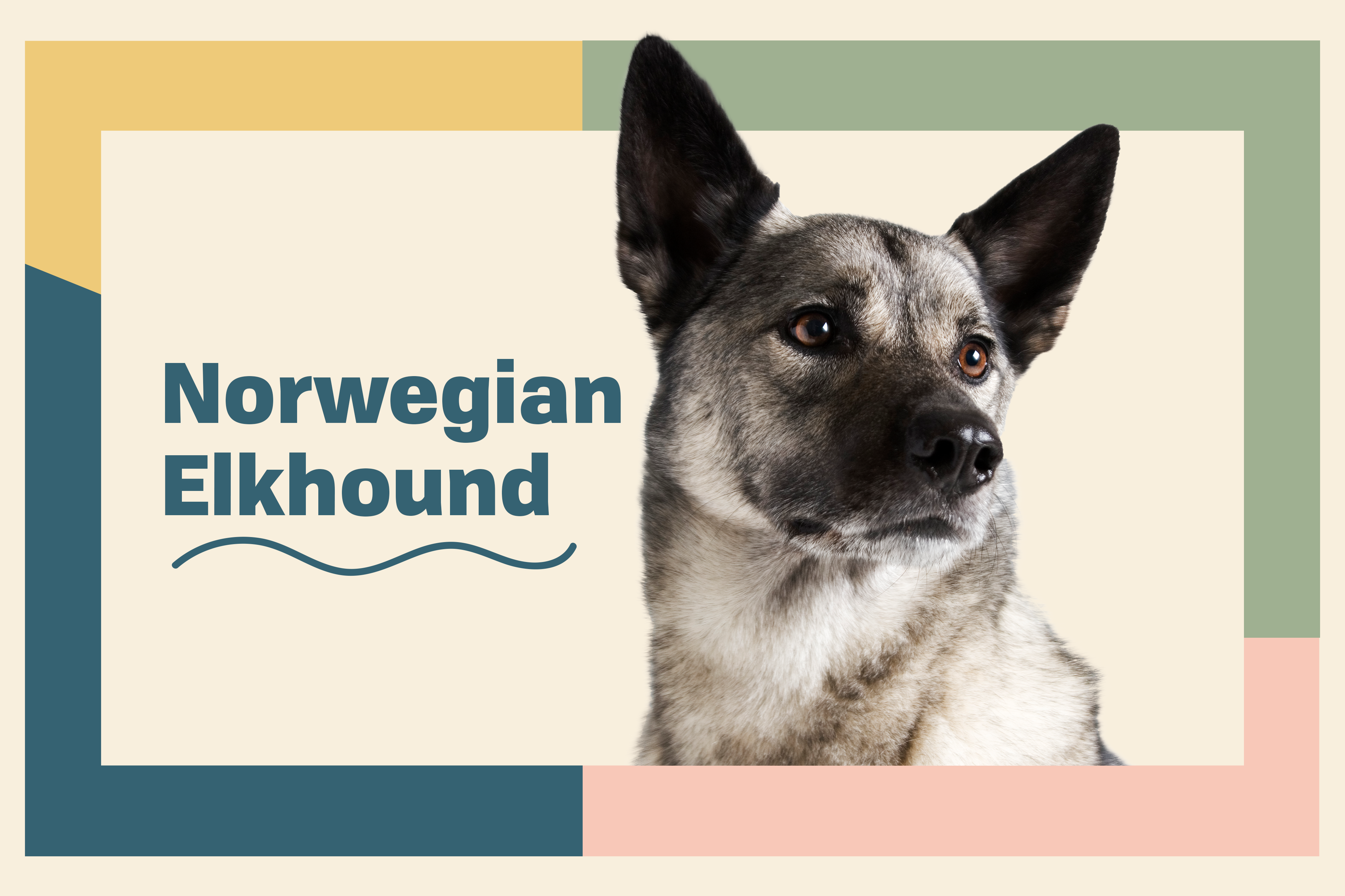 profile page for Norwegian Elkhound