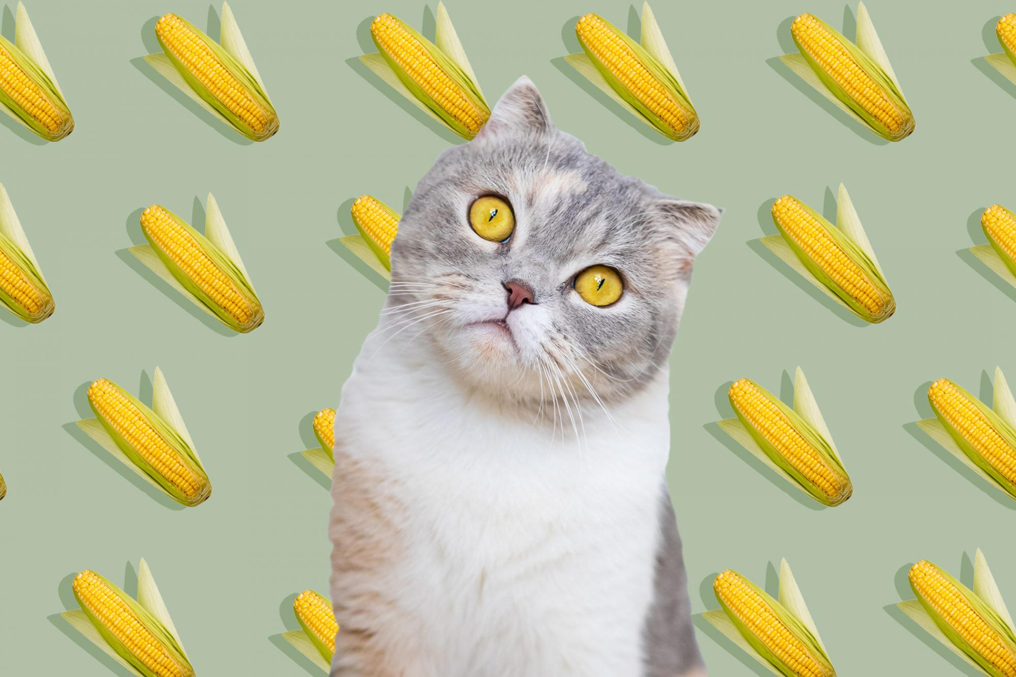 cat in front of background of a pattern of corn on the cob