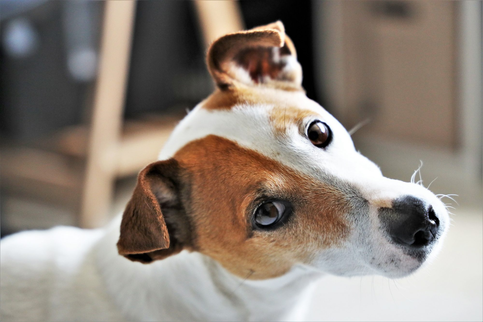 Jack russell terrier tilts head at the camera