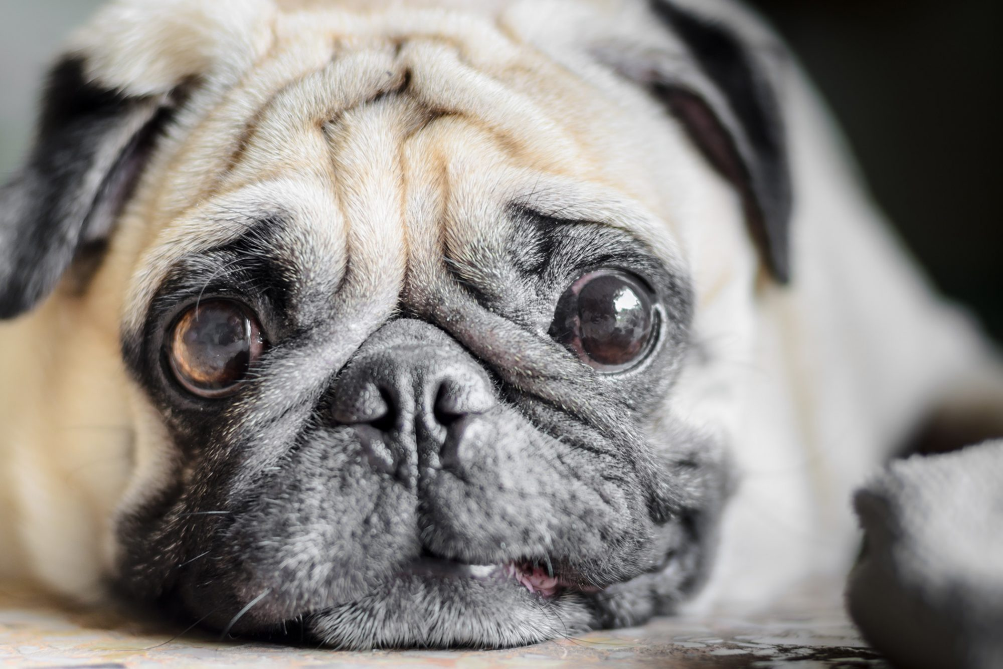 Pug dog's smushy face