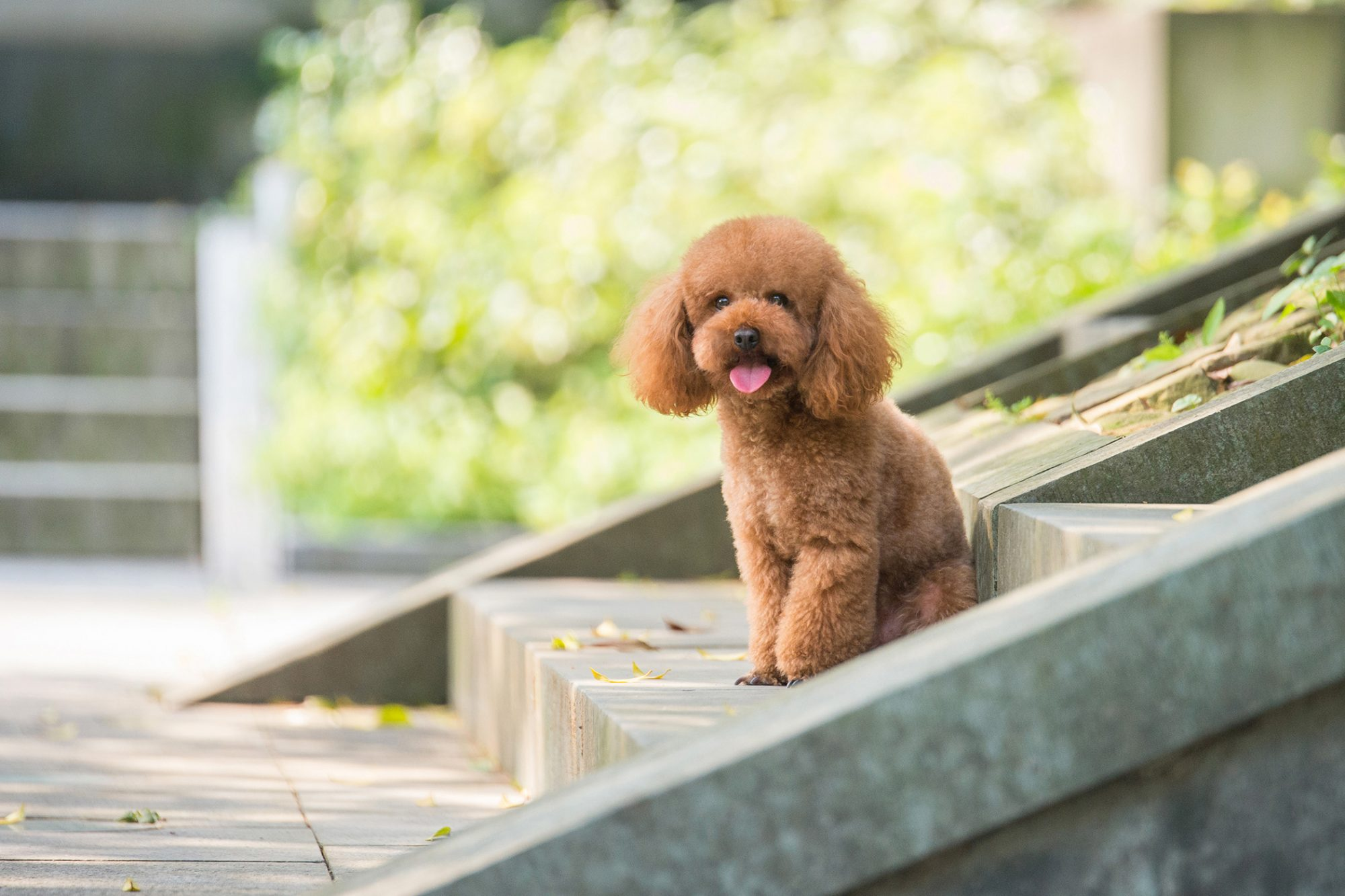 Toy poodle sits on concrete steps