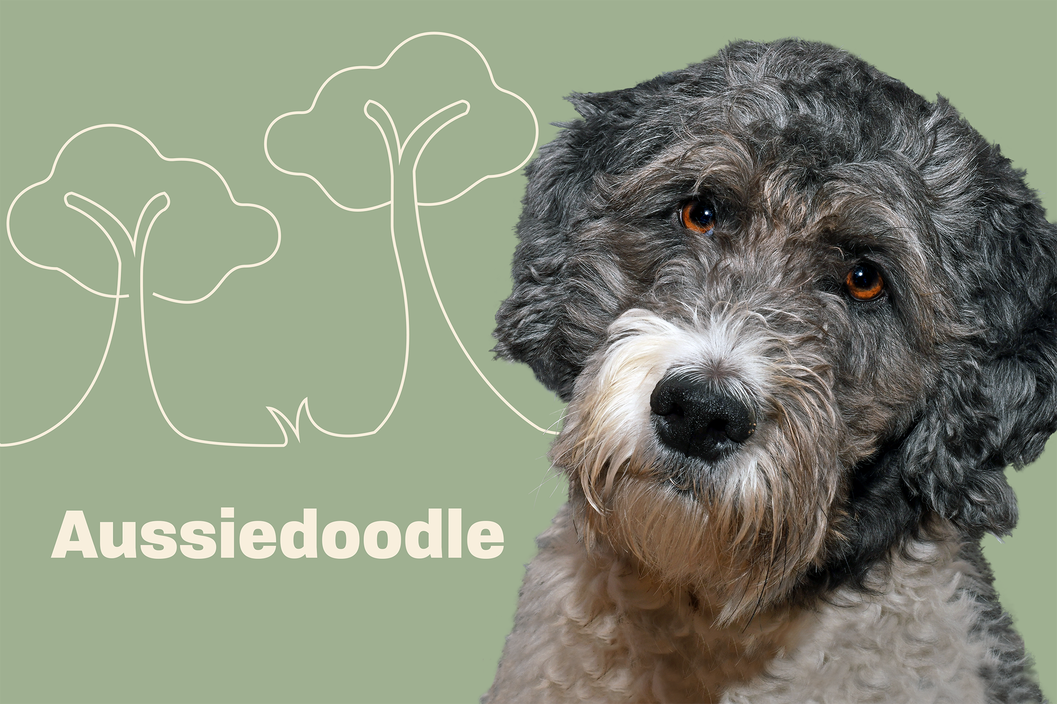 Aussiedoodle portrait with illustrated embellisments
