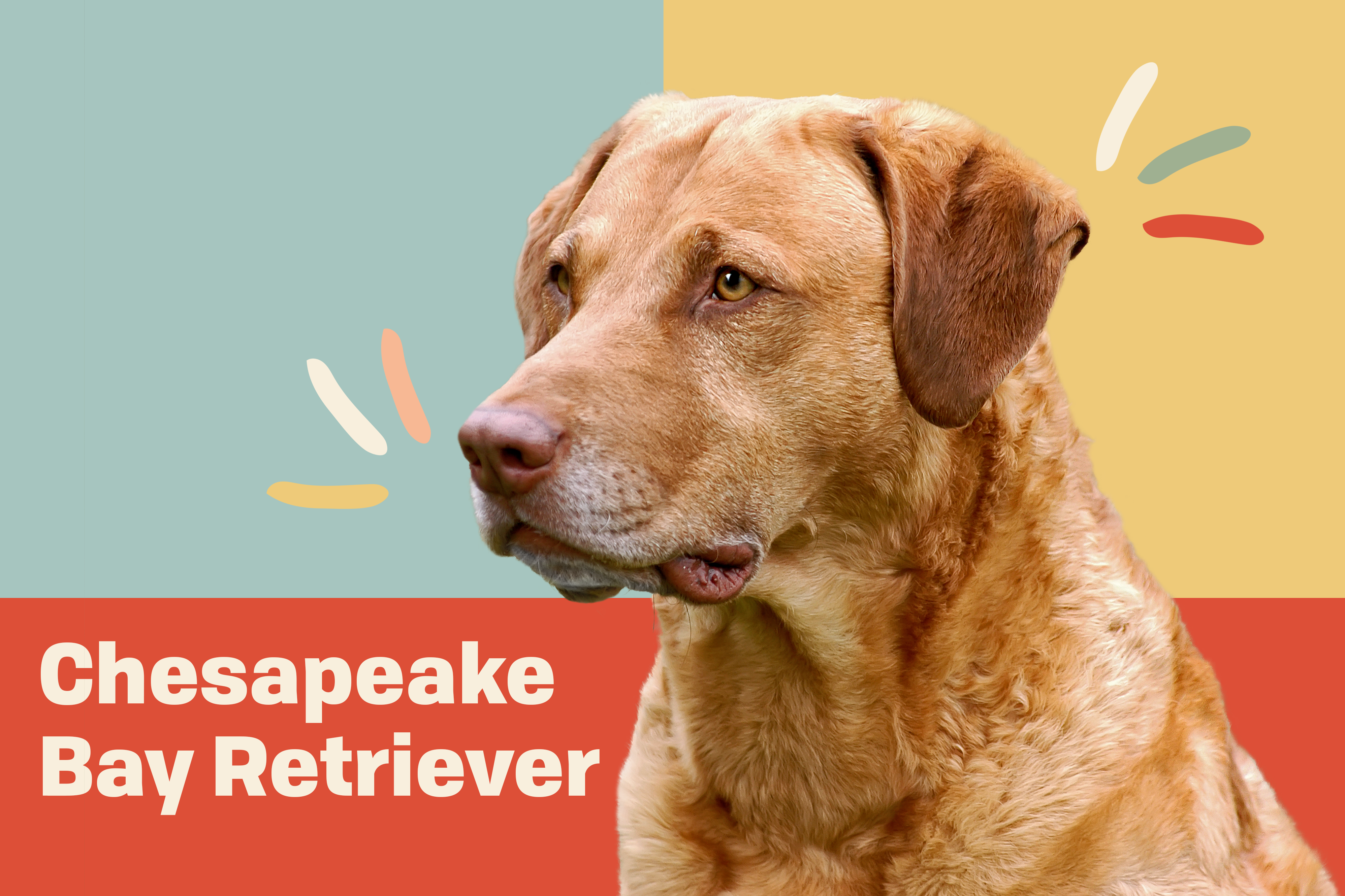 Chesapeake Bay Retriever profile picture with illustrated embellishments