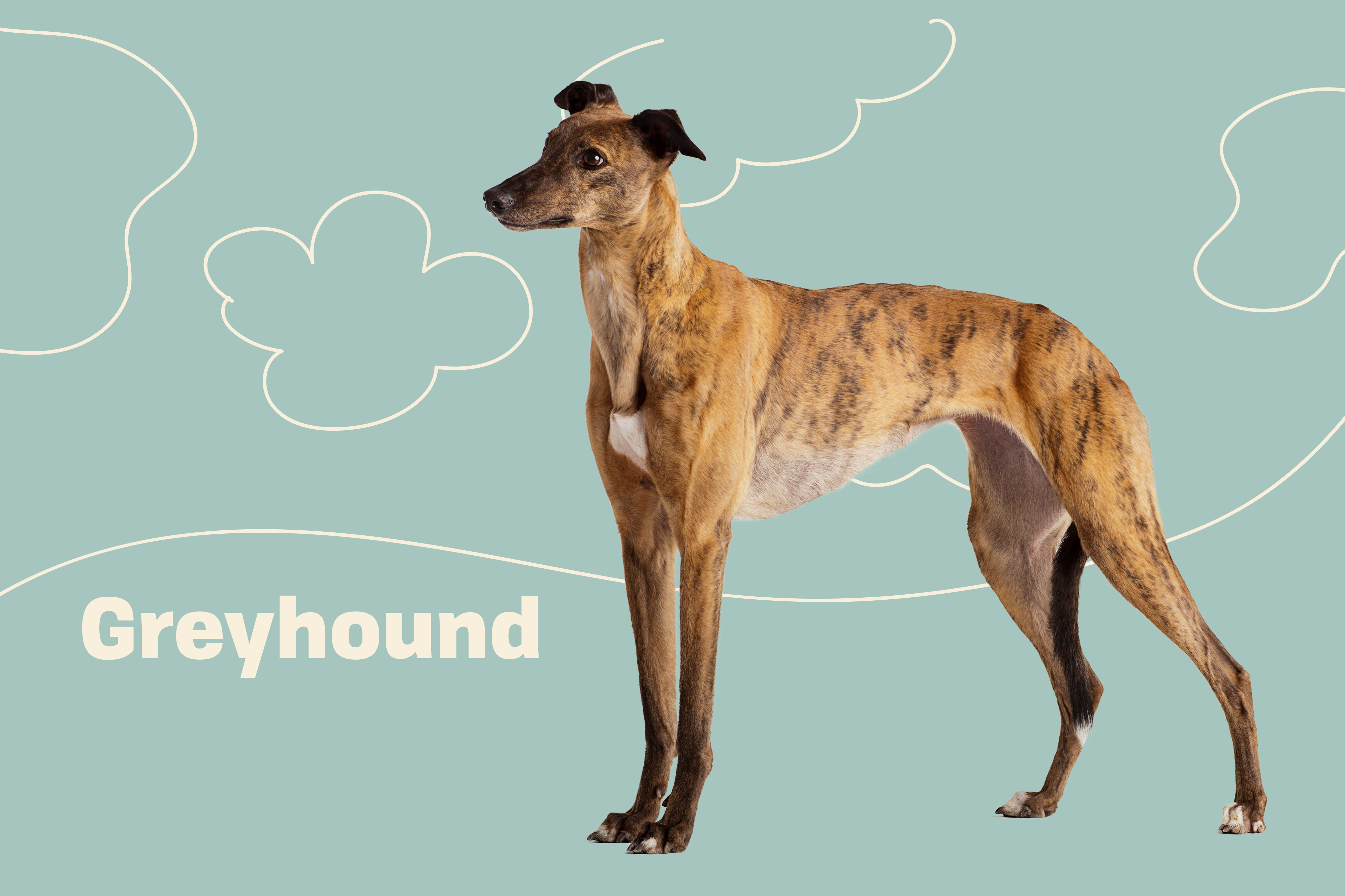 Greyhound profile with illustrated embellishments