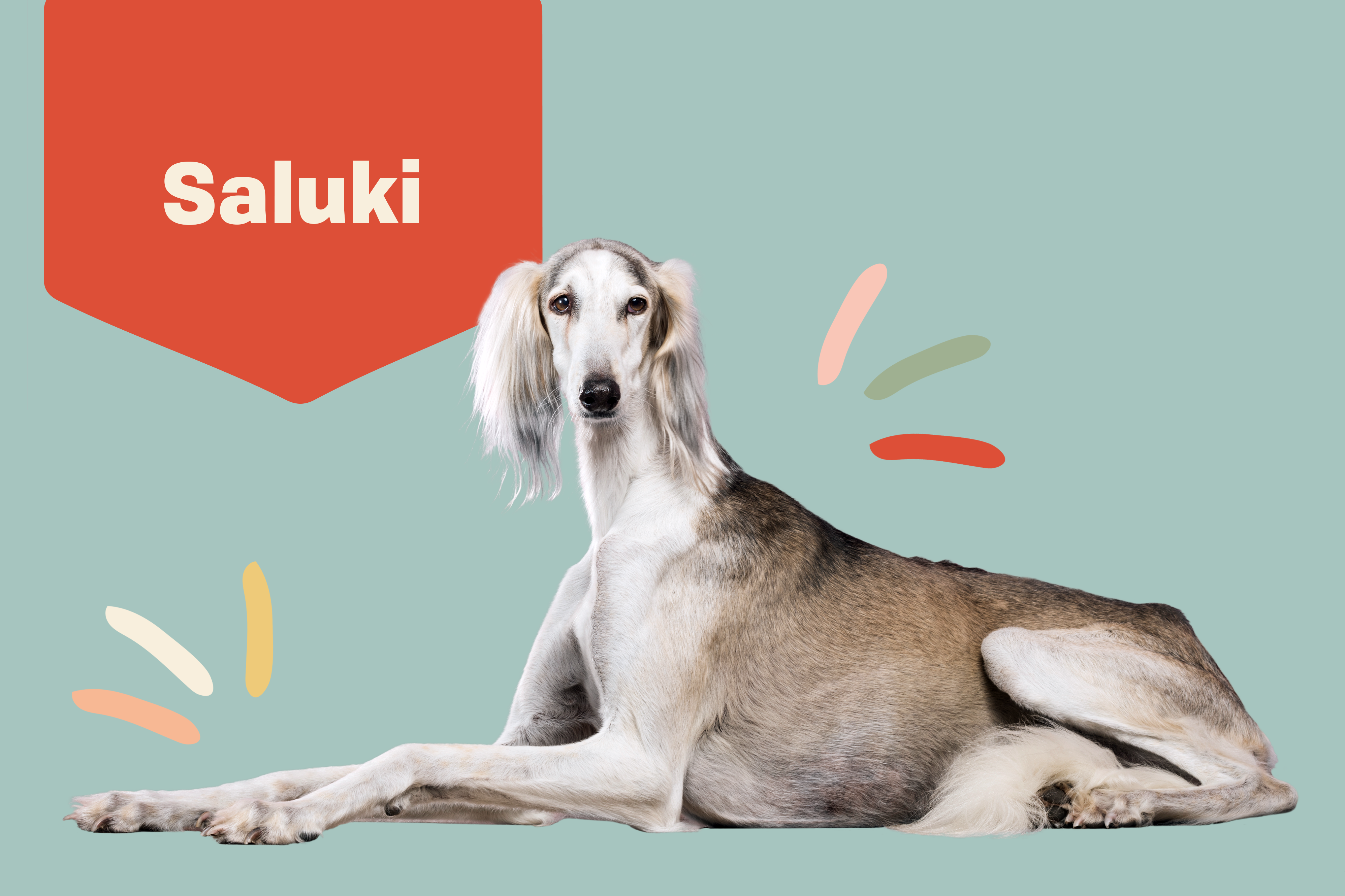 Saluki adult dog portrait with illustrated embellishments
