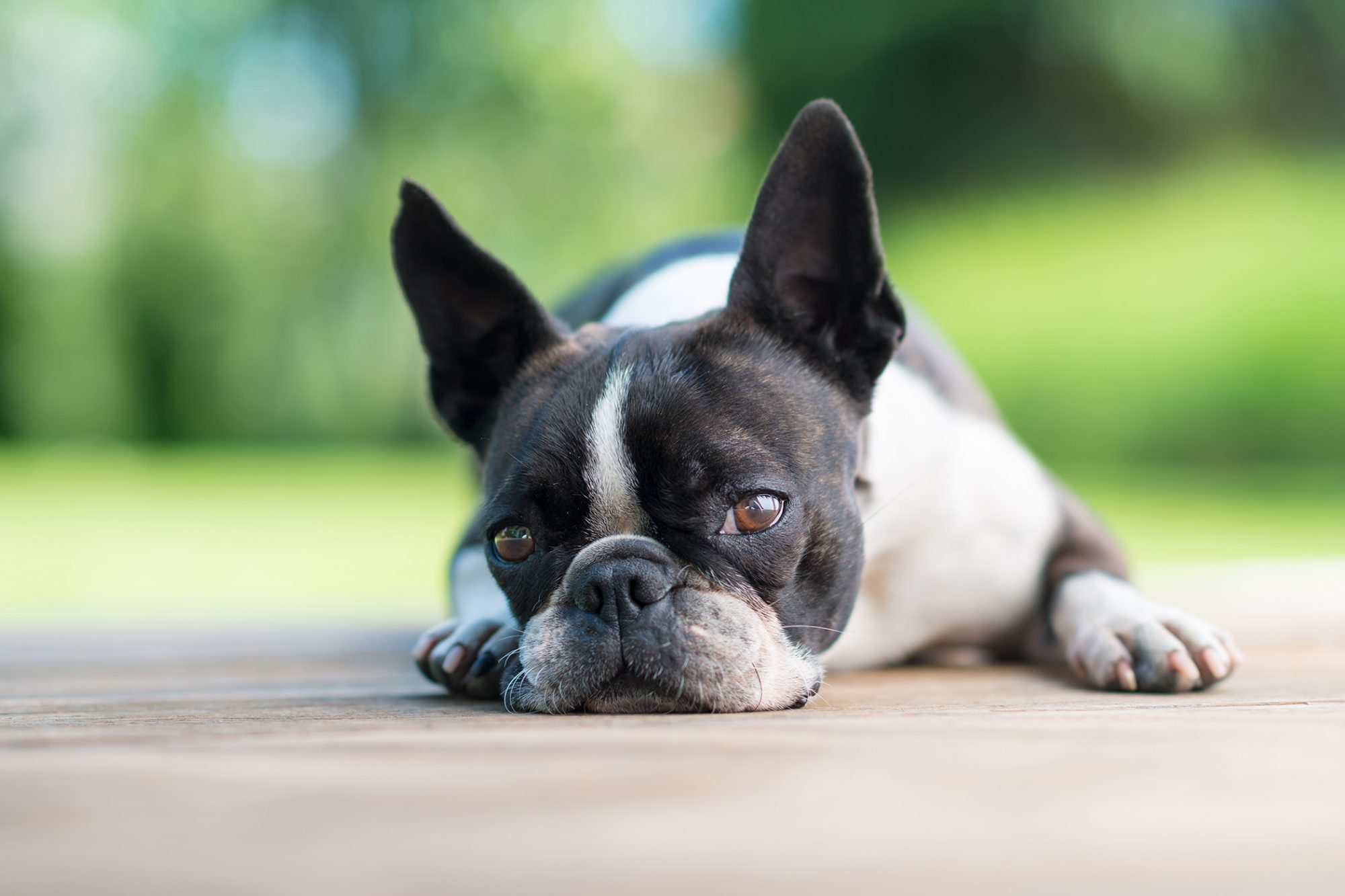 Boston terrier dog lays on terrace