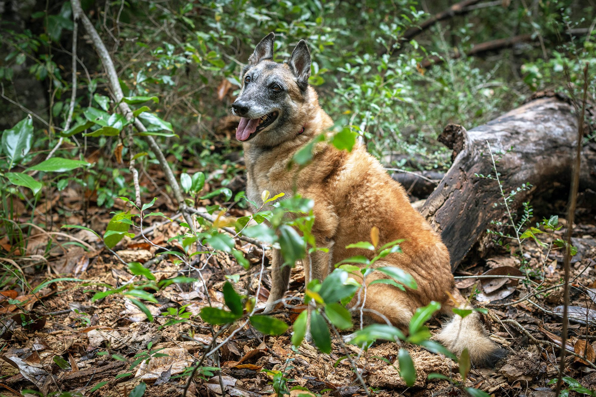 Search and rescue adult dog sits in shrubbery