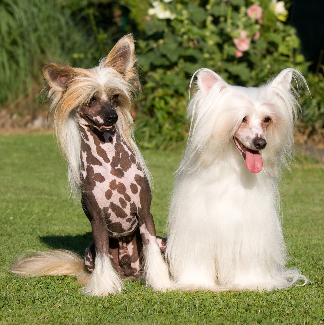 Hairless and white Chinese Crested pair stand next to each other in grass