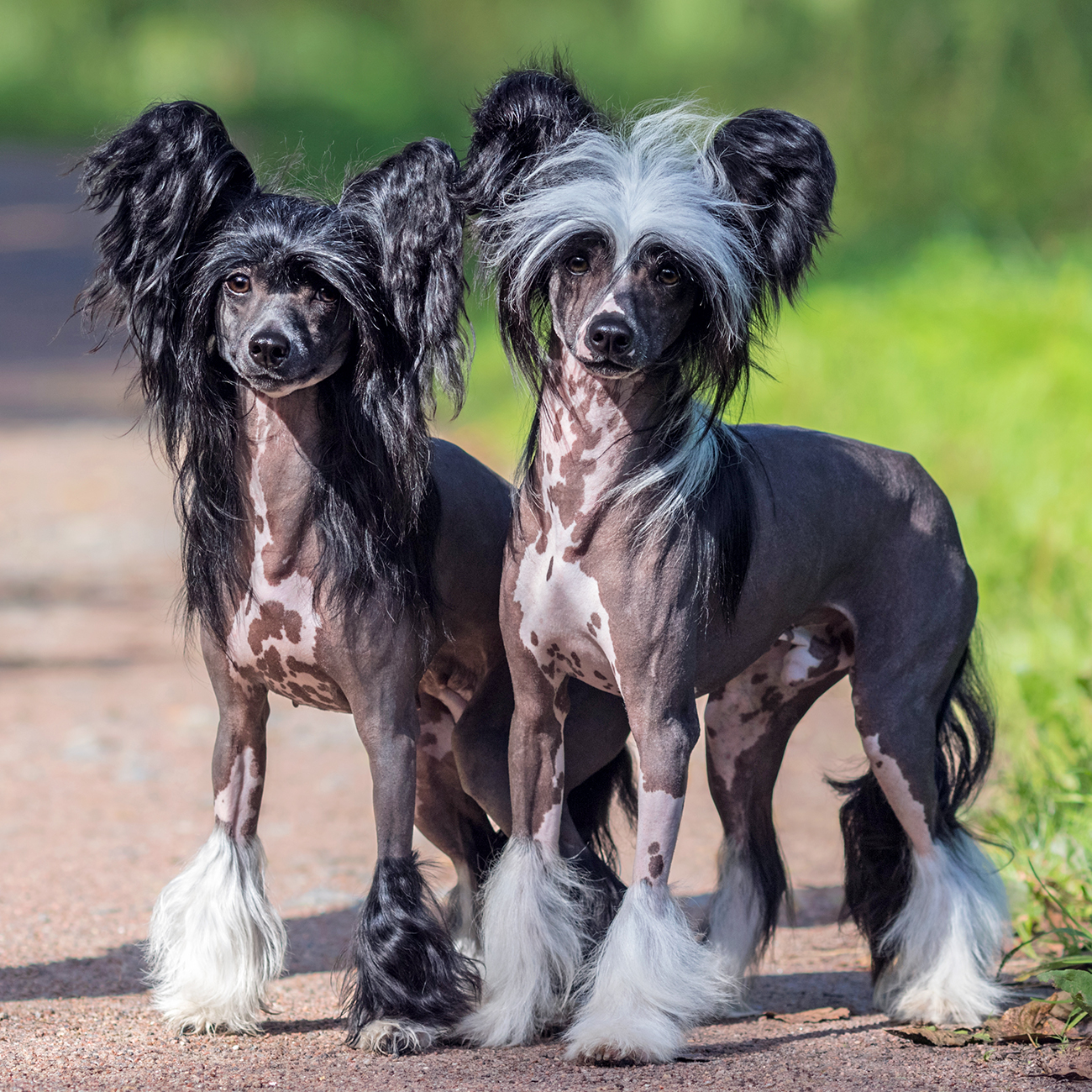 Two Chinese Crested dogs stand next to each other outdoors