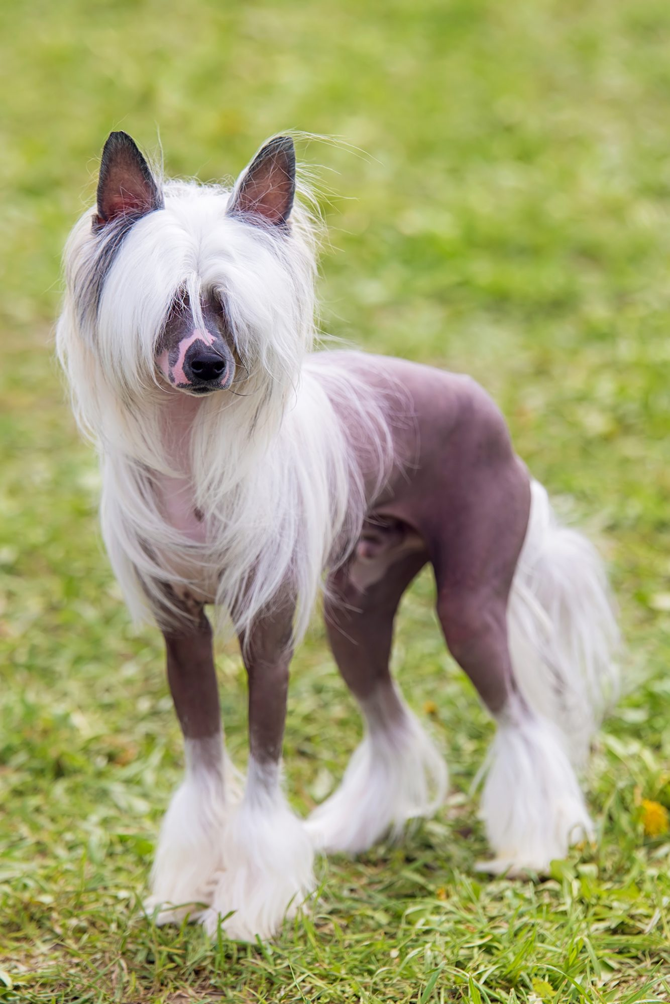 Chinese Crested dog stands on grass