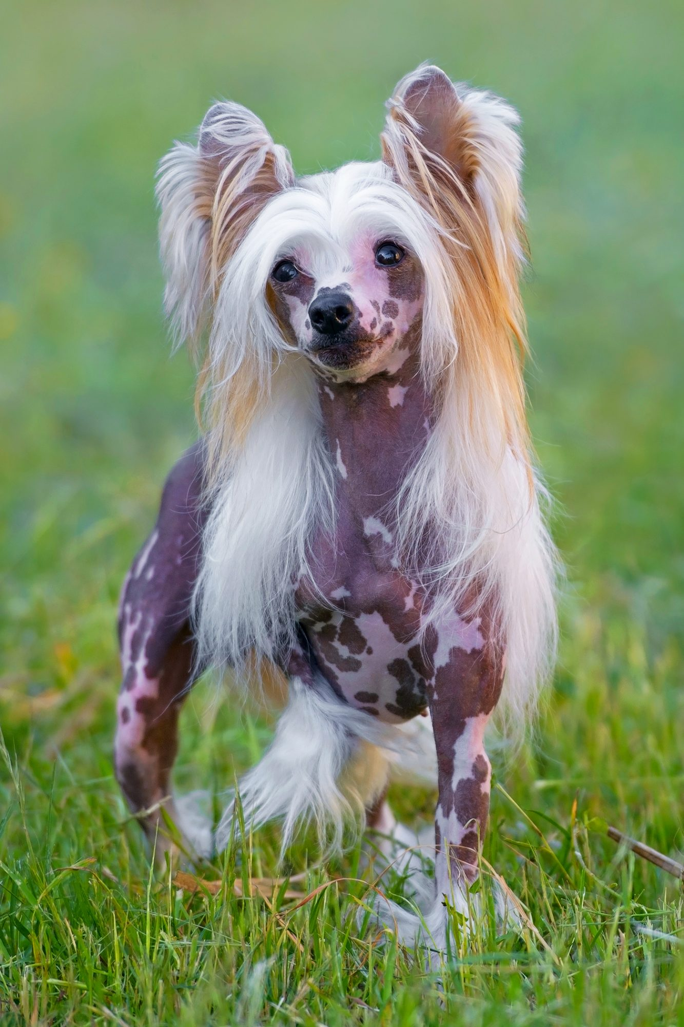 Chinese Crested dog stands in grass