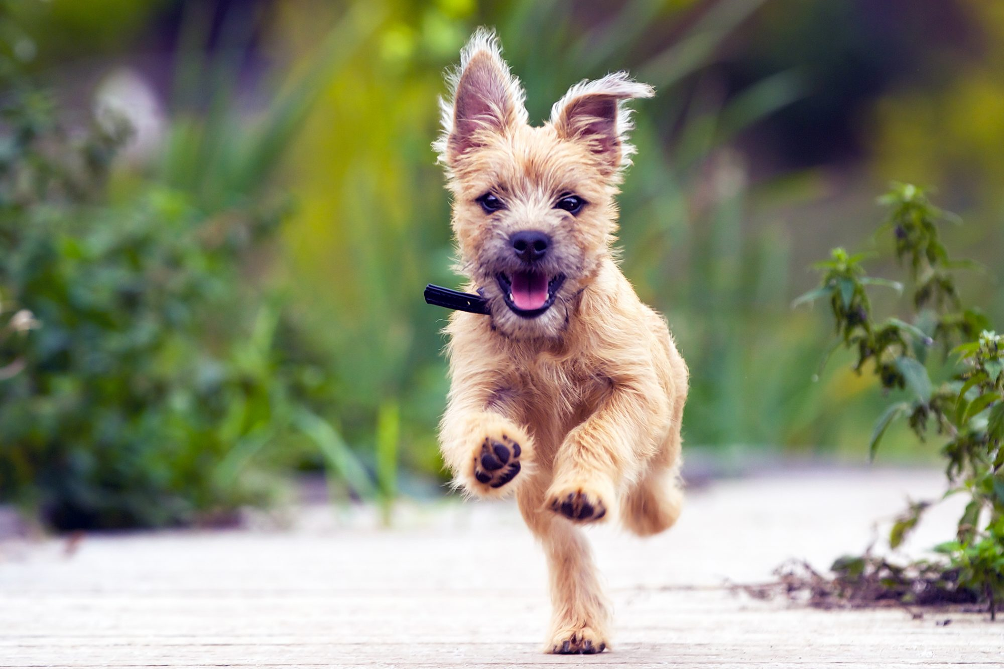 Terrier puppy happily runs toward camera