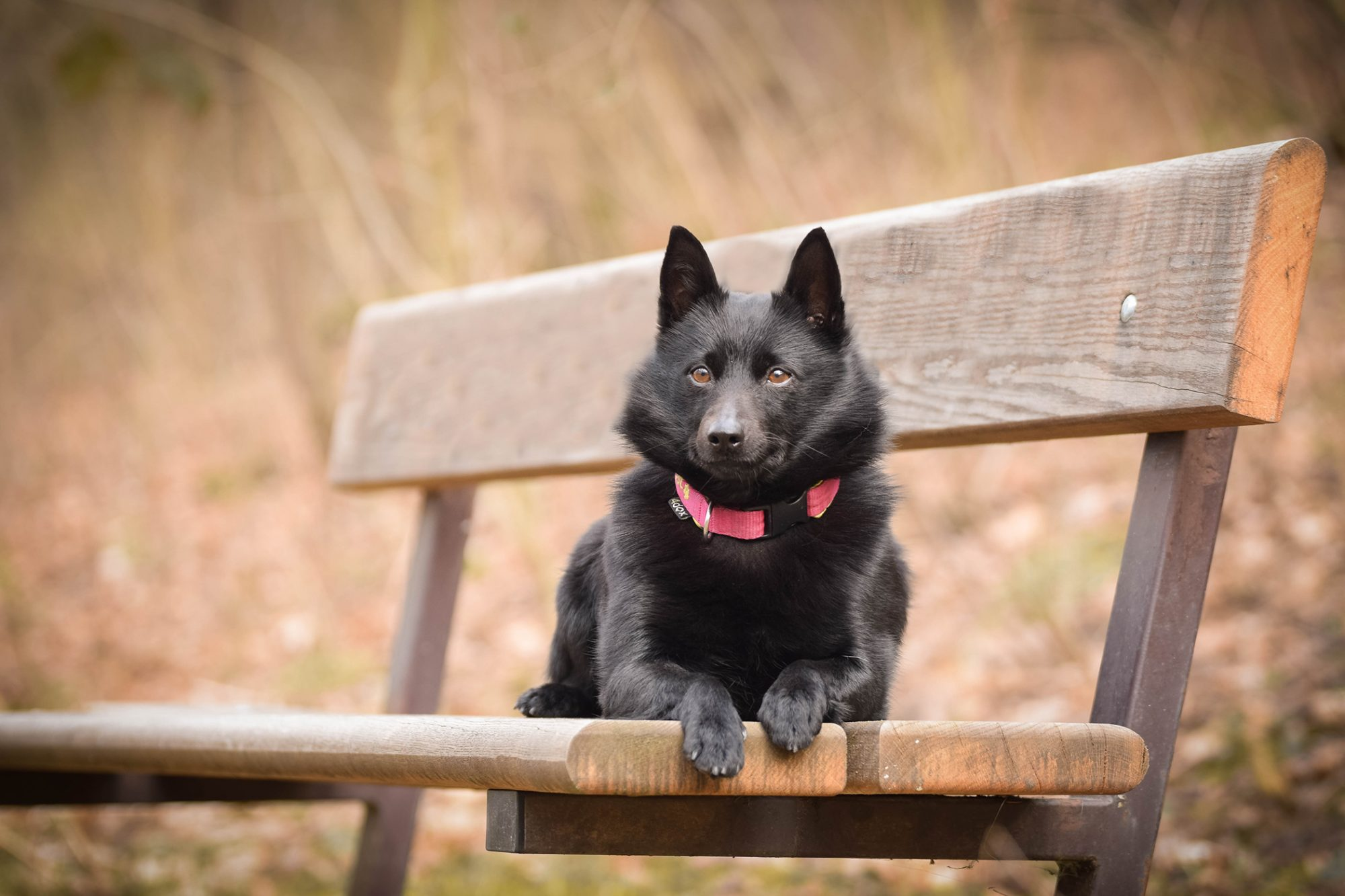 Schipperke dog with pink collar lays on wooden bench
