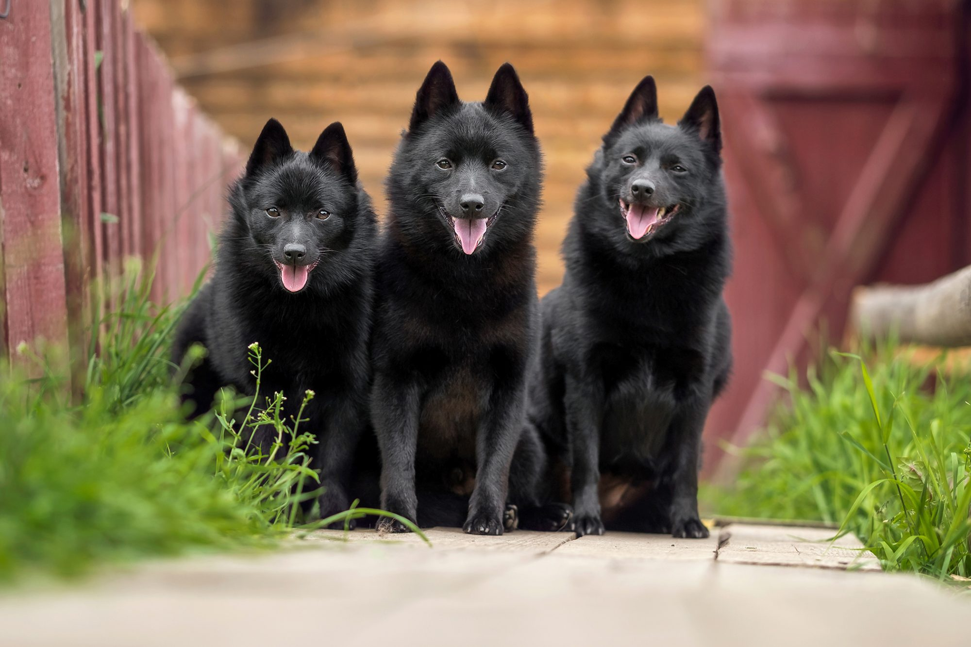 Three schipperke dogs outside with a red fence