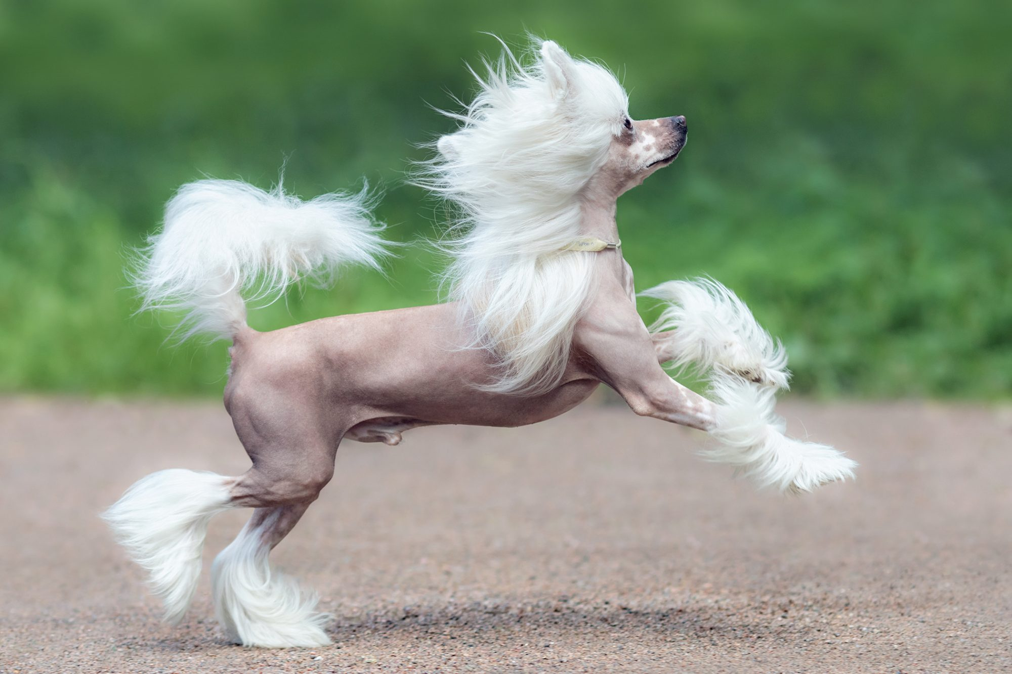 Chinese Crested dog running