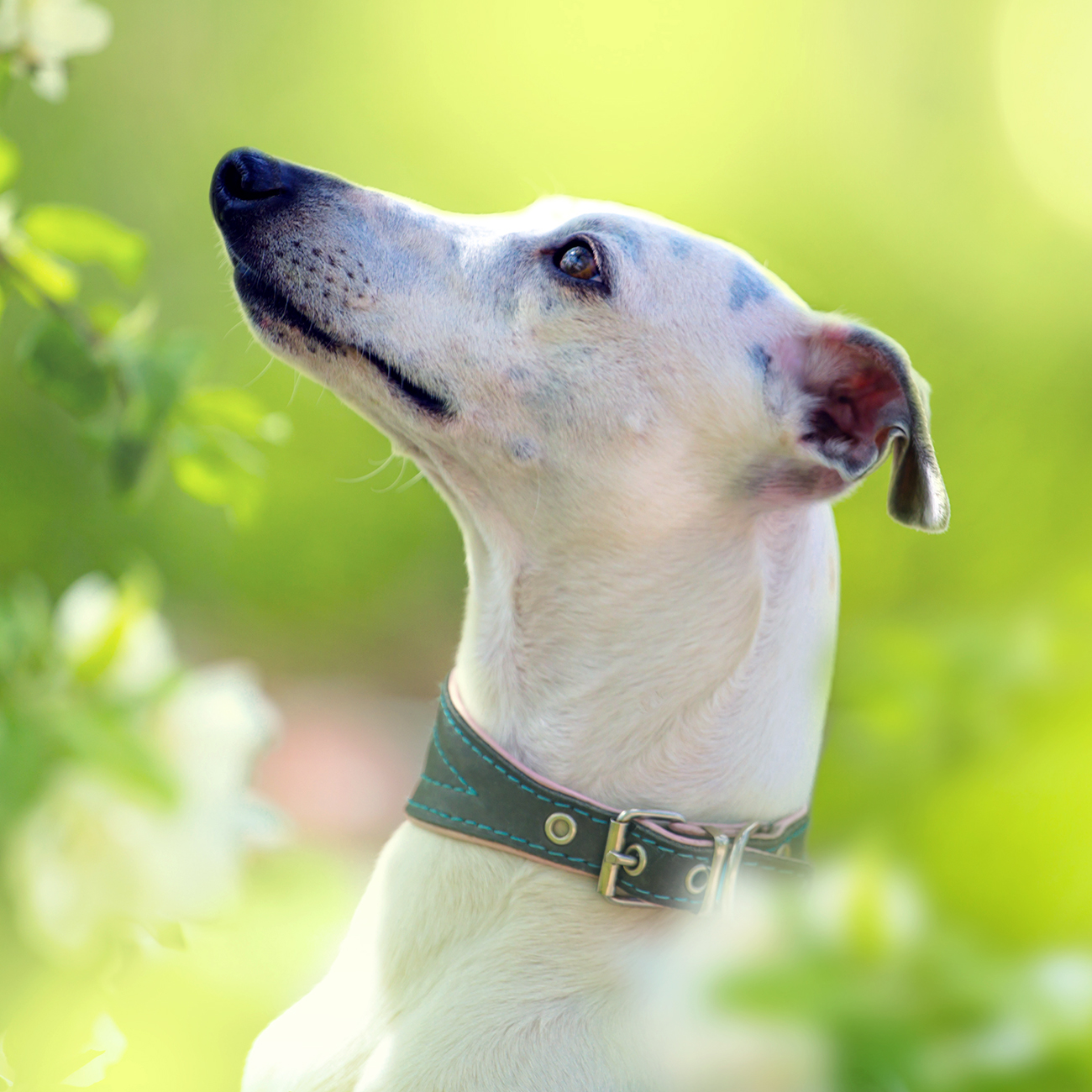 White Whippet dog profile looking up