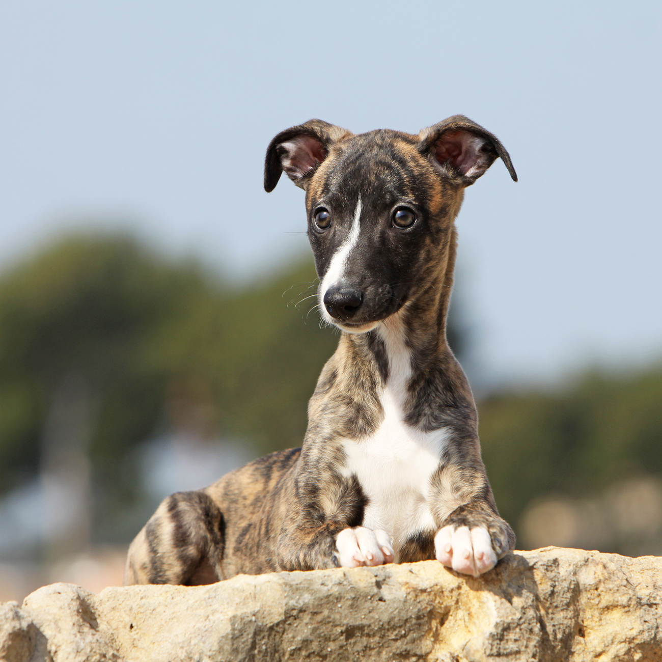 Whippet puppy on rock