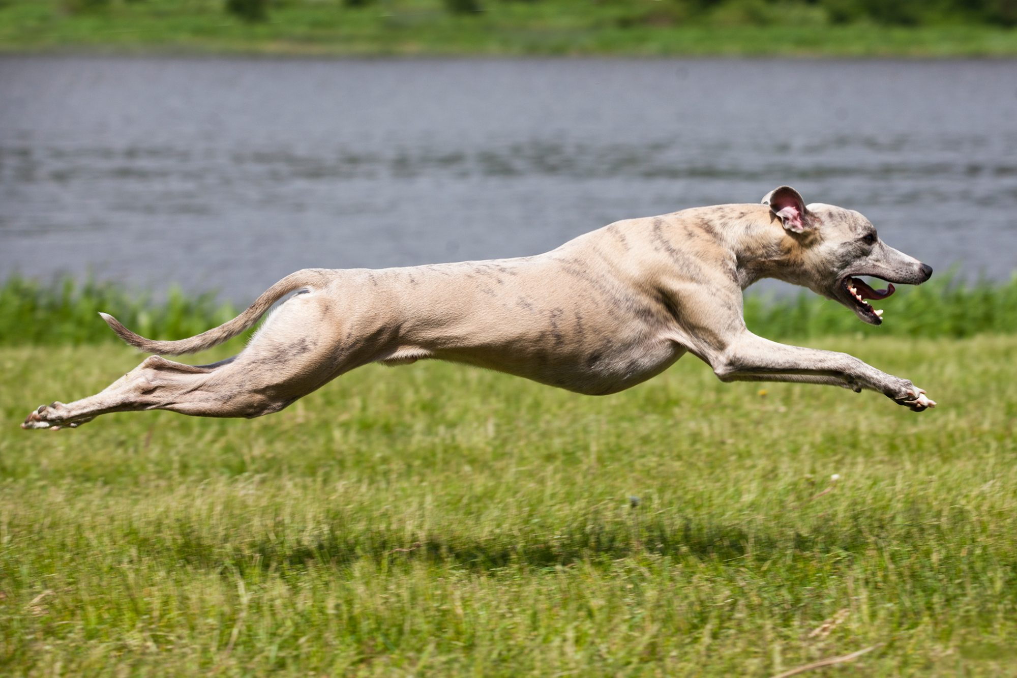Whippet dog running