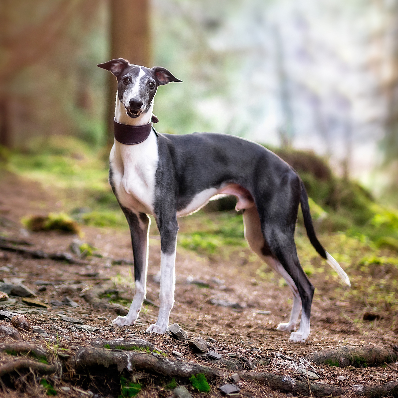 Whippet dog standing in woods