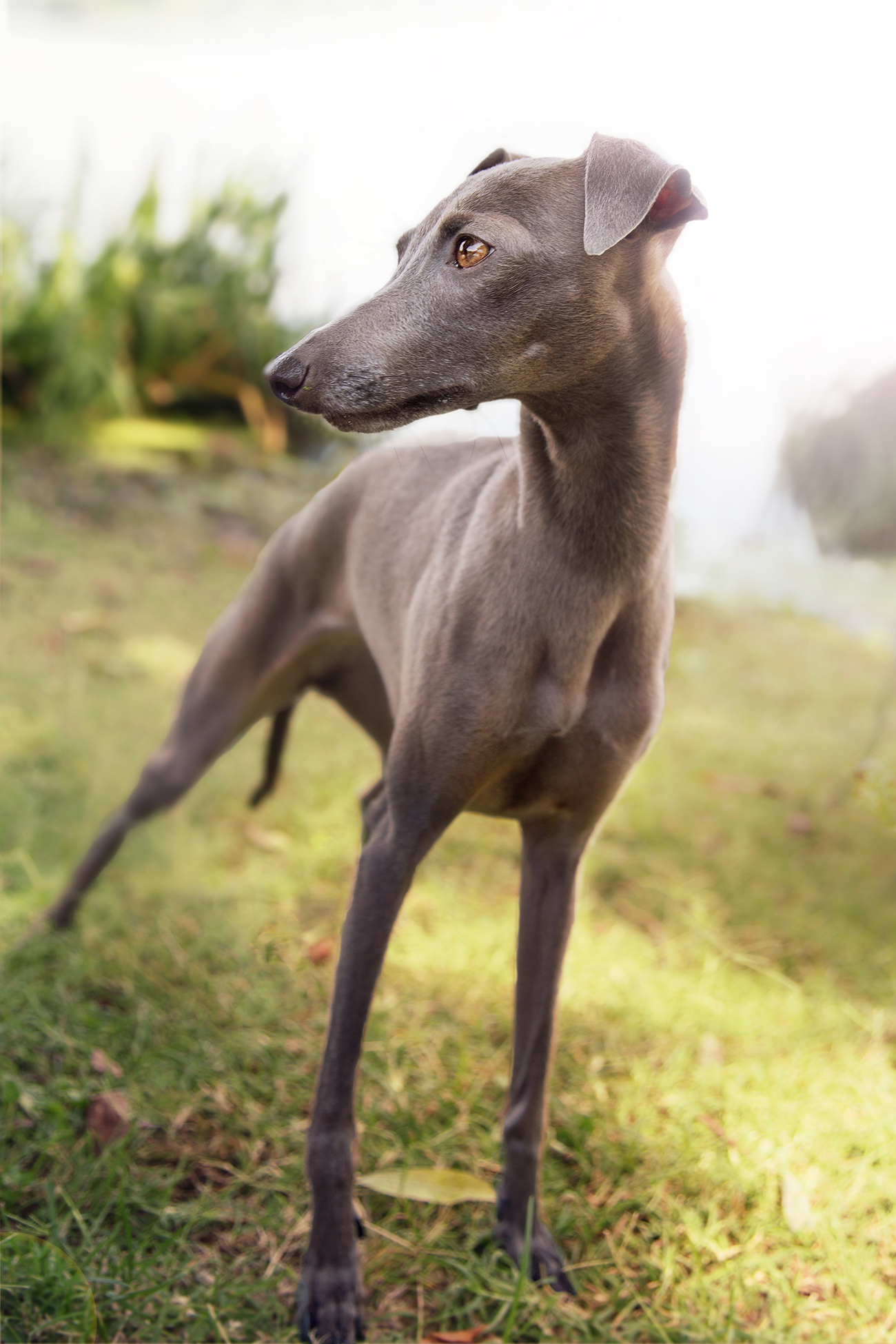 Whippet dog in three-quarter view