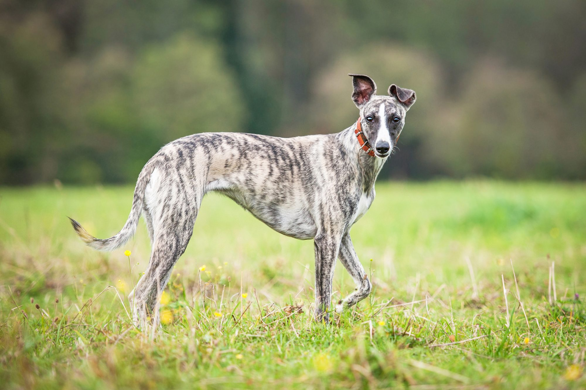 Whippet dog walking in field