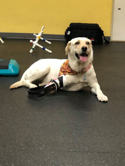 Golden Lab with Prosthetic Leg
