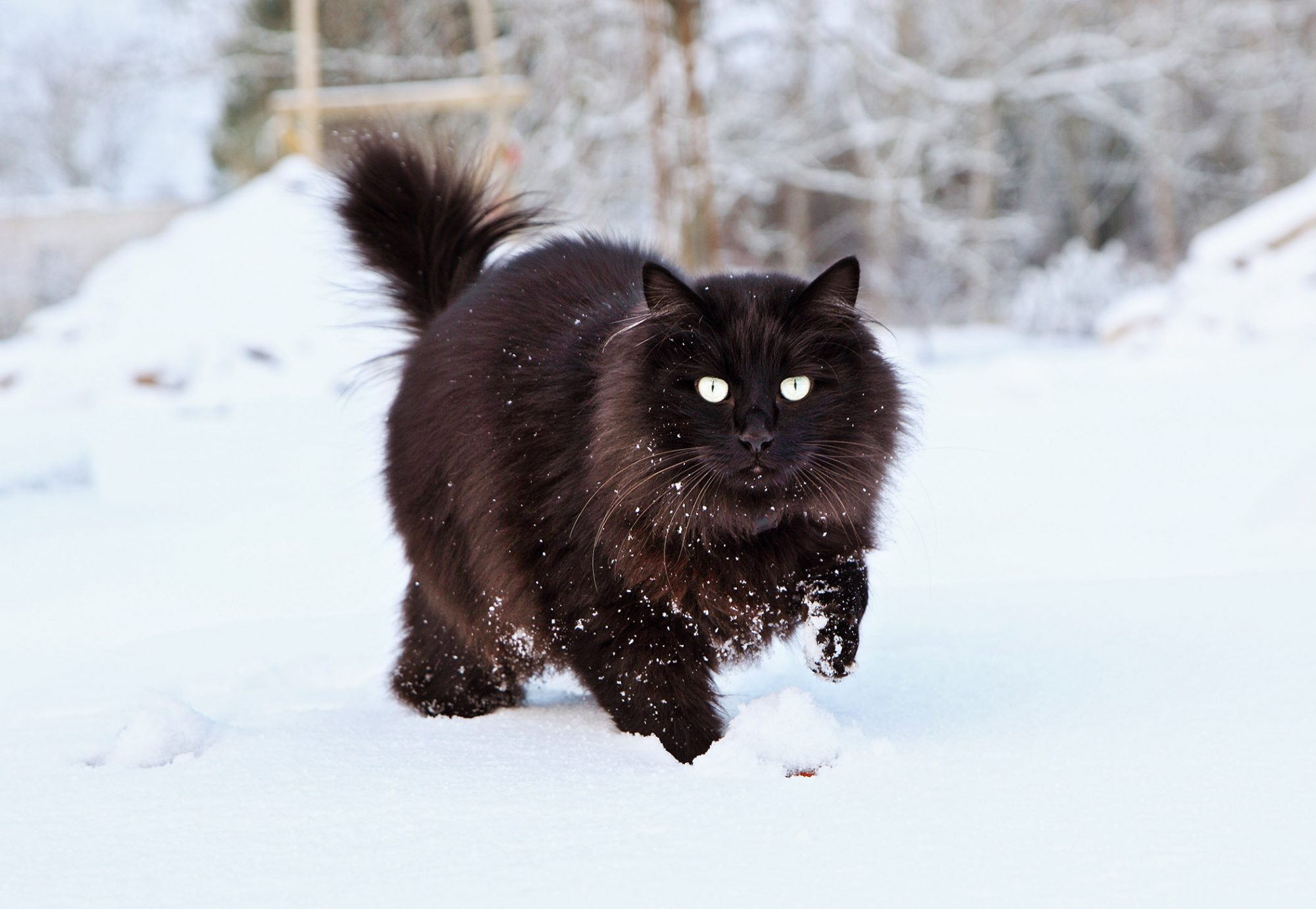 Black cat playing in the snow
