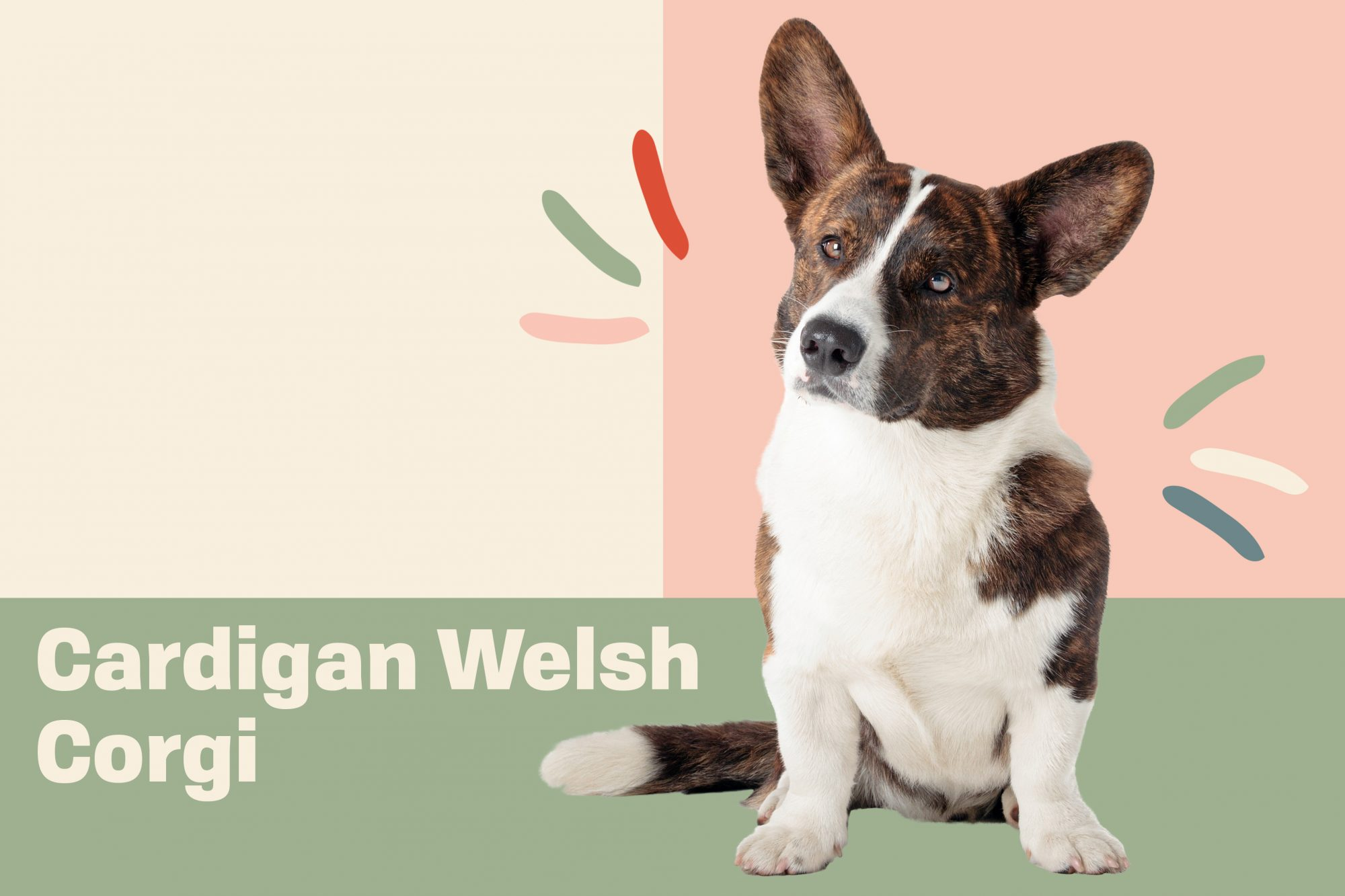 Portrait of Cardigan Welsh Corgi with illustrated embellishments