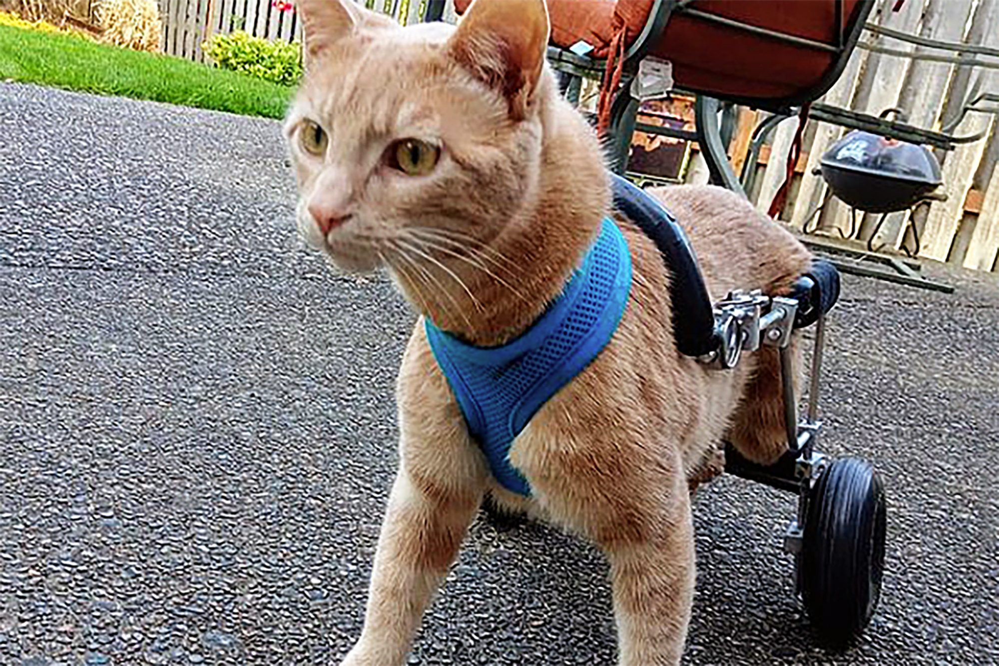 Orange cat uses cat wheelchair