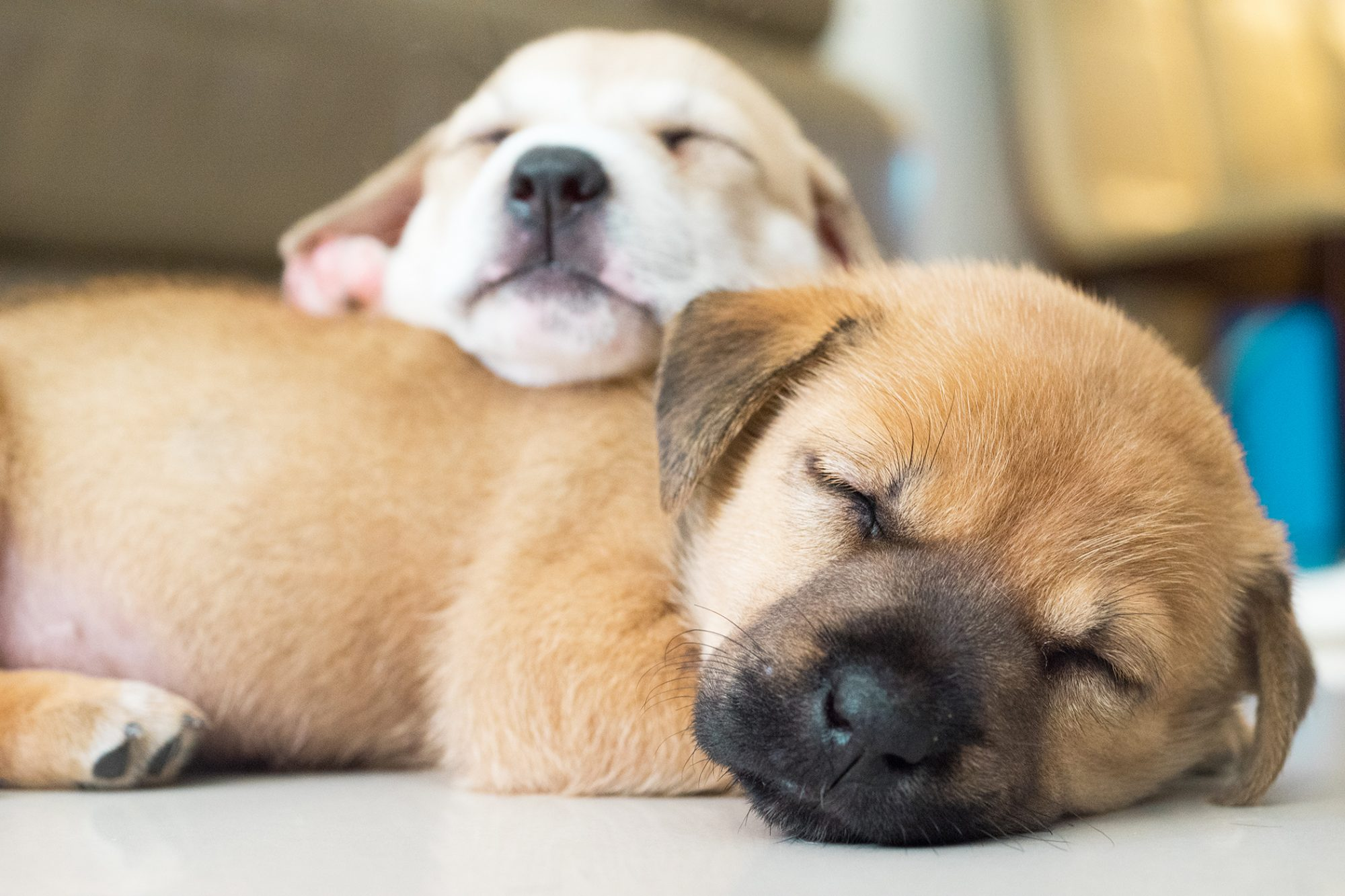 Two puppies take a nap, with one sleeping on top of another
